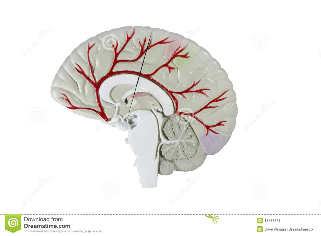 Human brain cross section model stock image image of section human brain cross section model ccuart Images