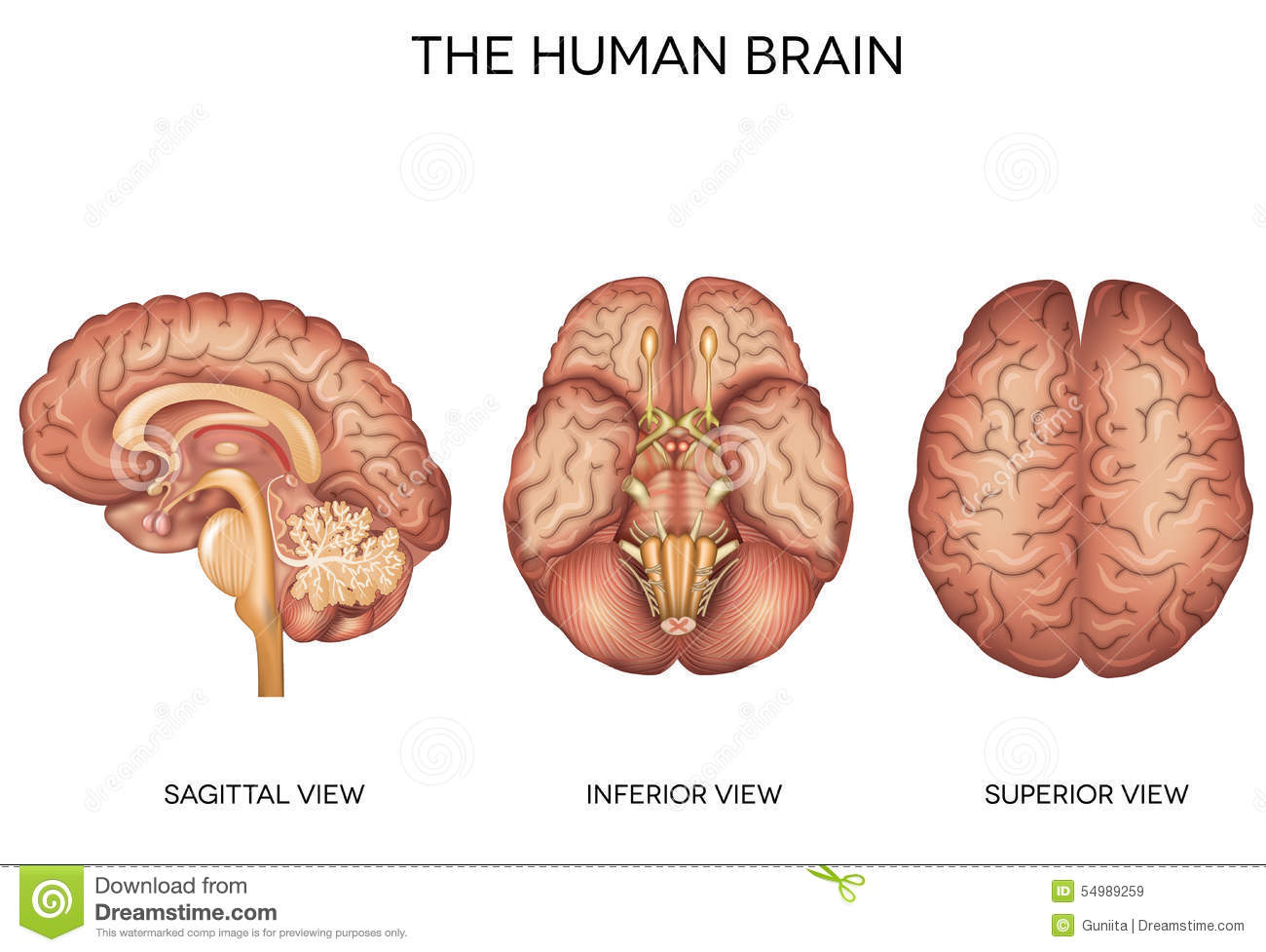 Human Brain Detailed Anatomy Stock Vector Illustration Of