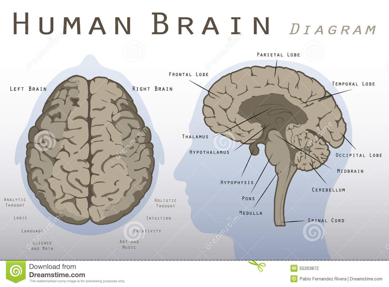 Human brain diagram stock illustration illustration of hypothalamus download comp ccuart Gallery