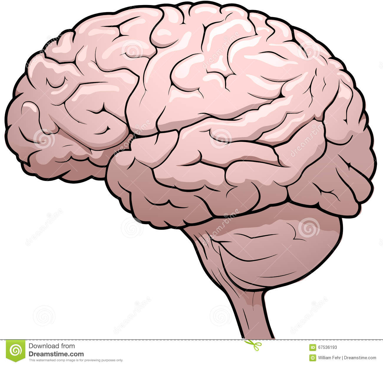 the human brain The human brain how your brain works  ©howstuffworkscom your brain is made of approximately 100 billion nerve cells, called neurons.