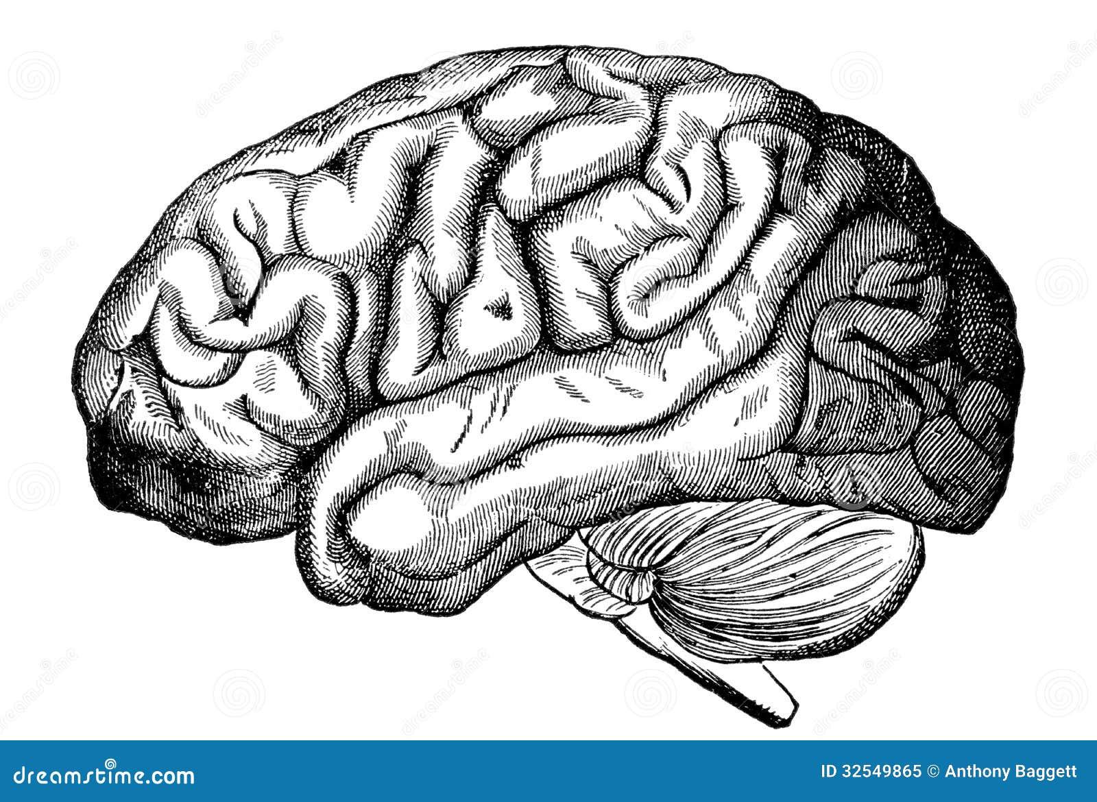 Human brain stock illustration. Illustration of biology - 32549865