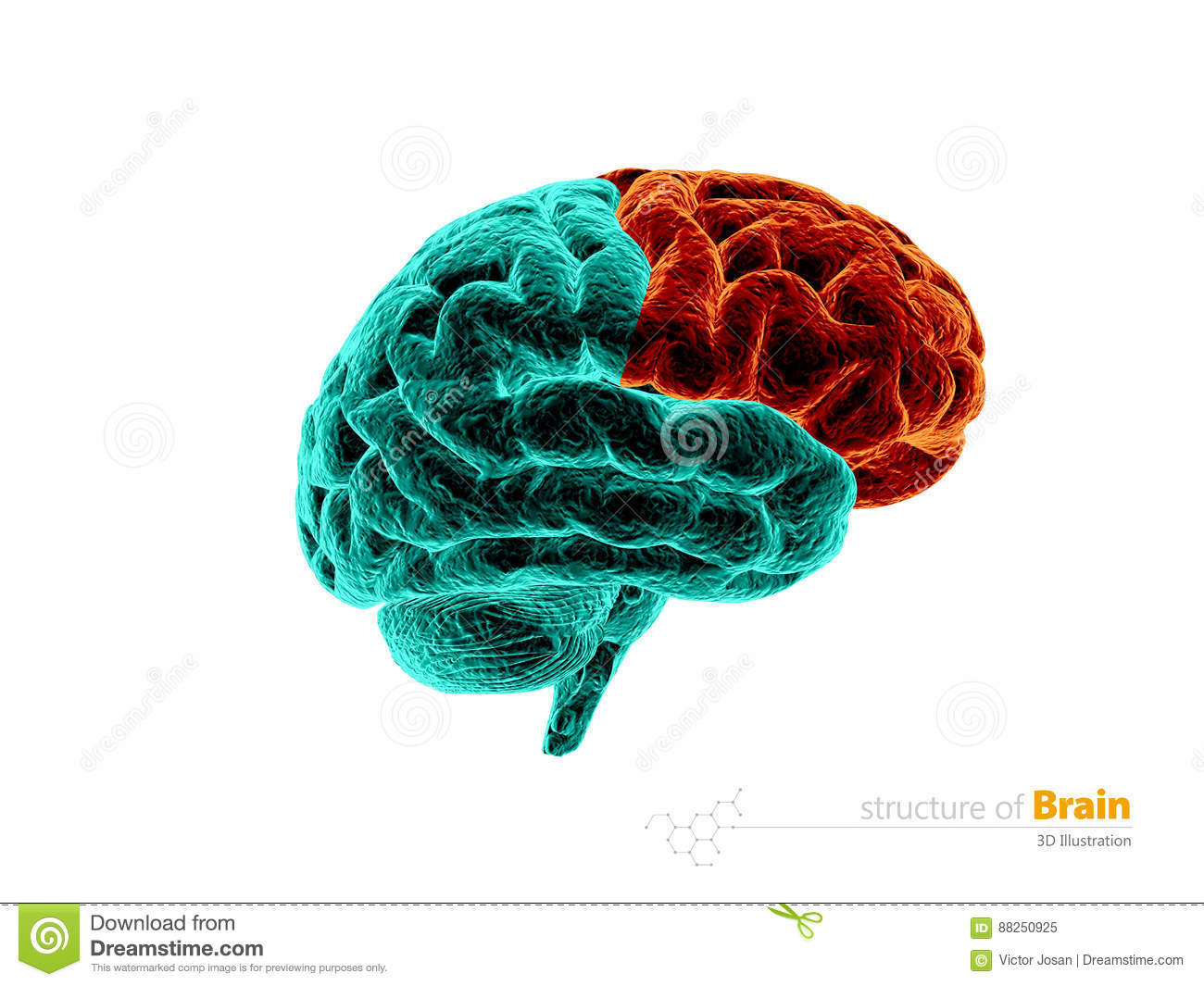 Human Brain, Frontal Lobe Anatomy Structure. Human Brain Anatomy 3d ...