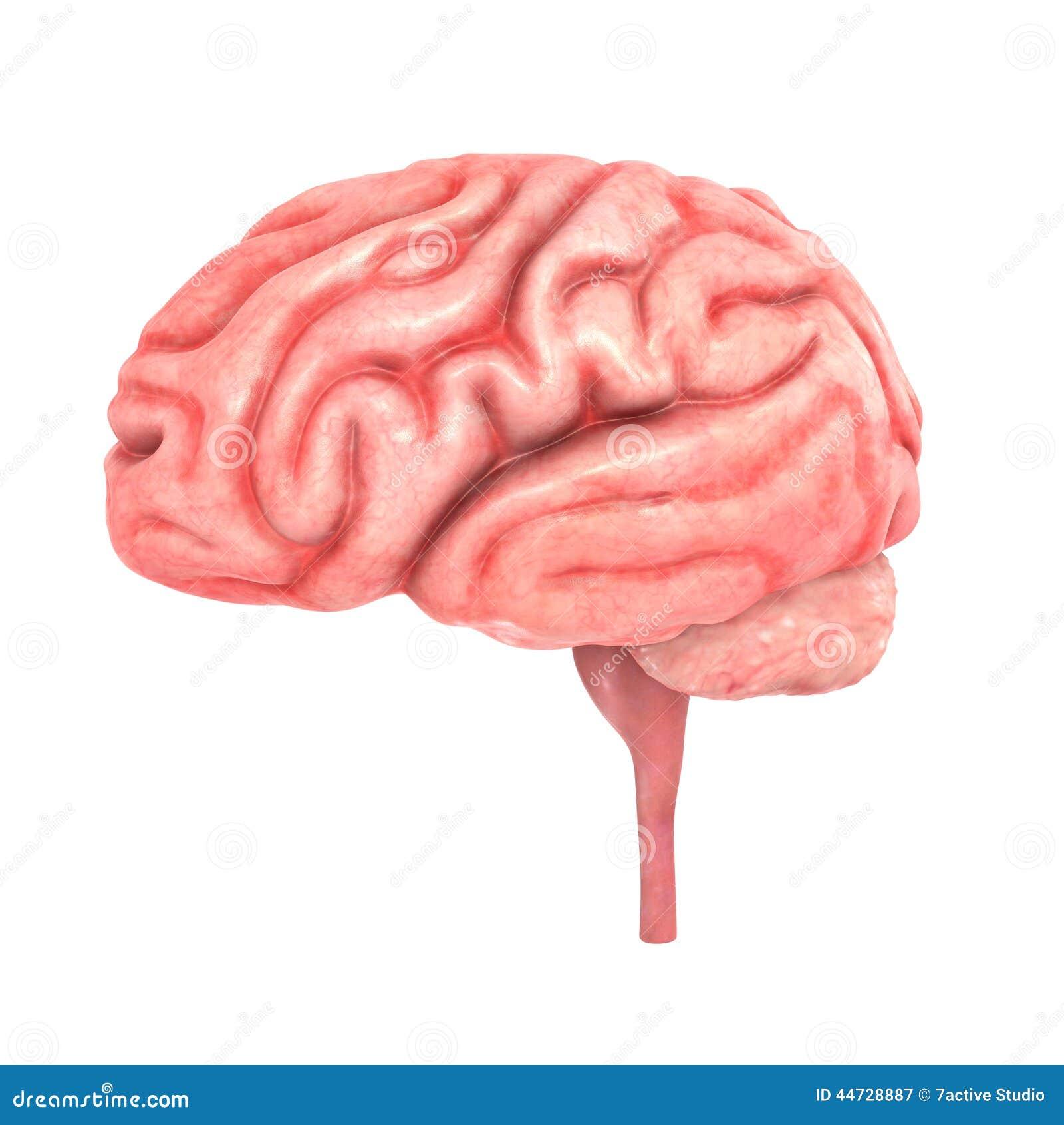 Human brain stock illustration illustration of mind 44728887 download human brain stock illustration illustration of mind 44728887 ccuart Images