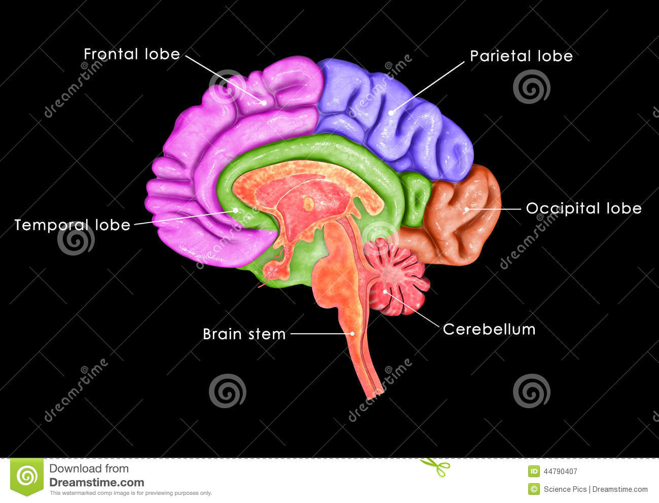 Brain parts stock illustration illustration of human 48738796 human brain royalty free stock photography ccuart Choice Image