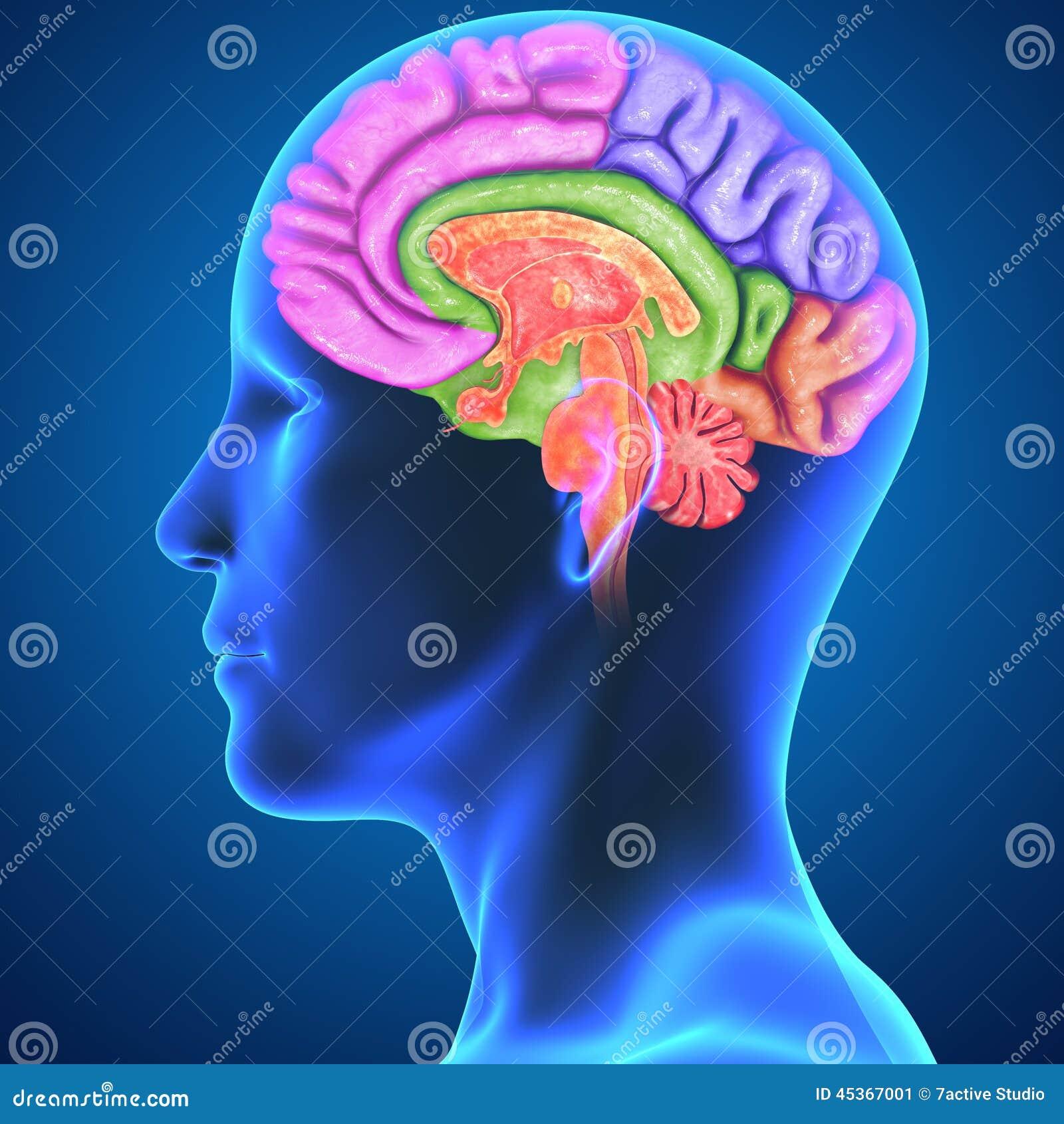 Human brain stock illustration illustration of anatomical 45367001 download comp ccuart Images