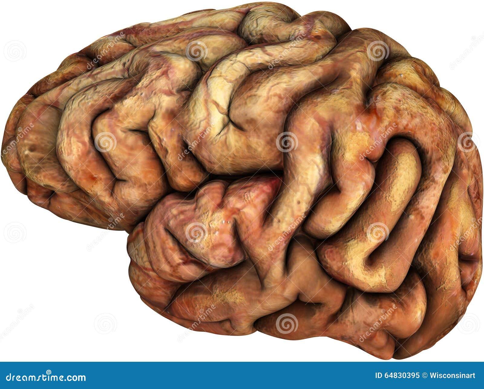 Human Brain Illustration Isolated Body Parts Stock Image
