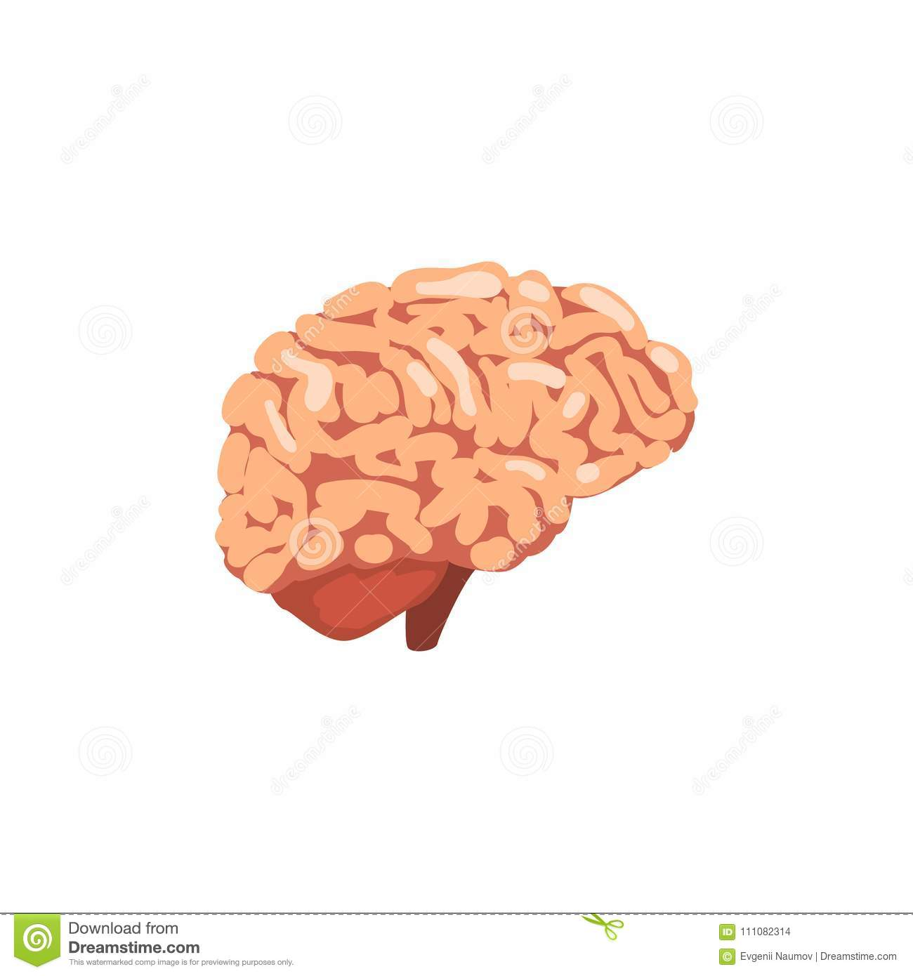 Human Brain, Internal Organ Anatomy Vector Illustration On A White ...