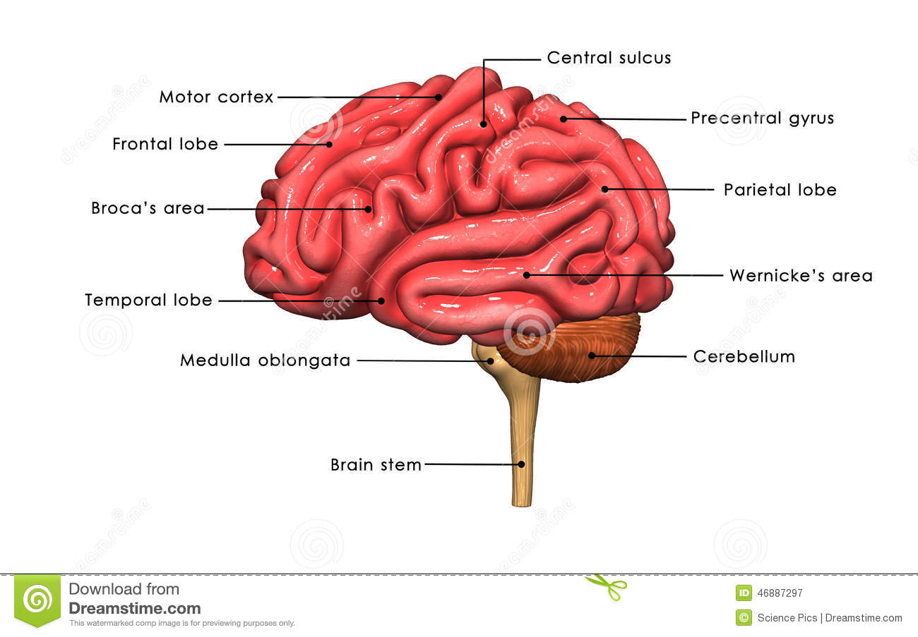 Human Brain labelled stock illustration. Illustration of biology ...