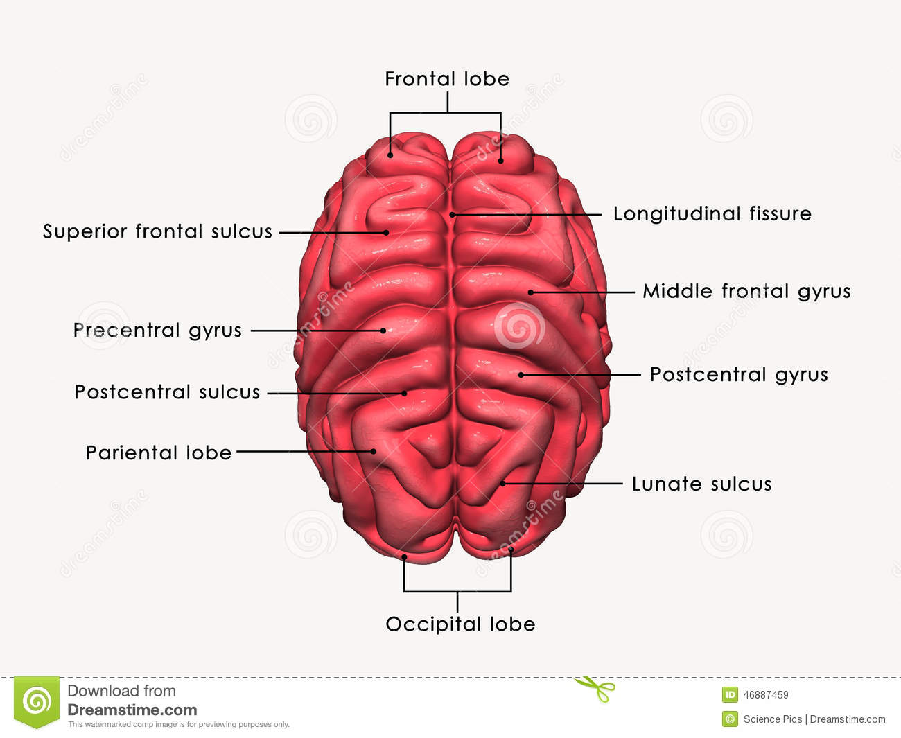 Human Brain labelled stock illustration. Illustration of brain ...
