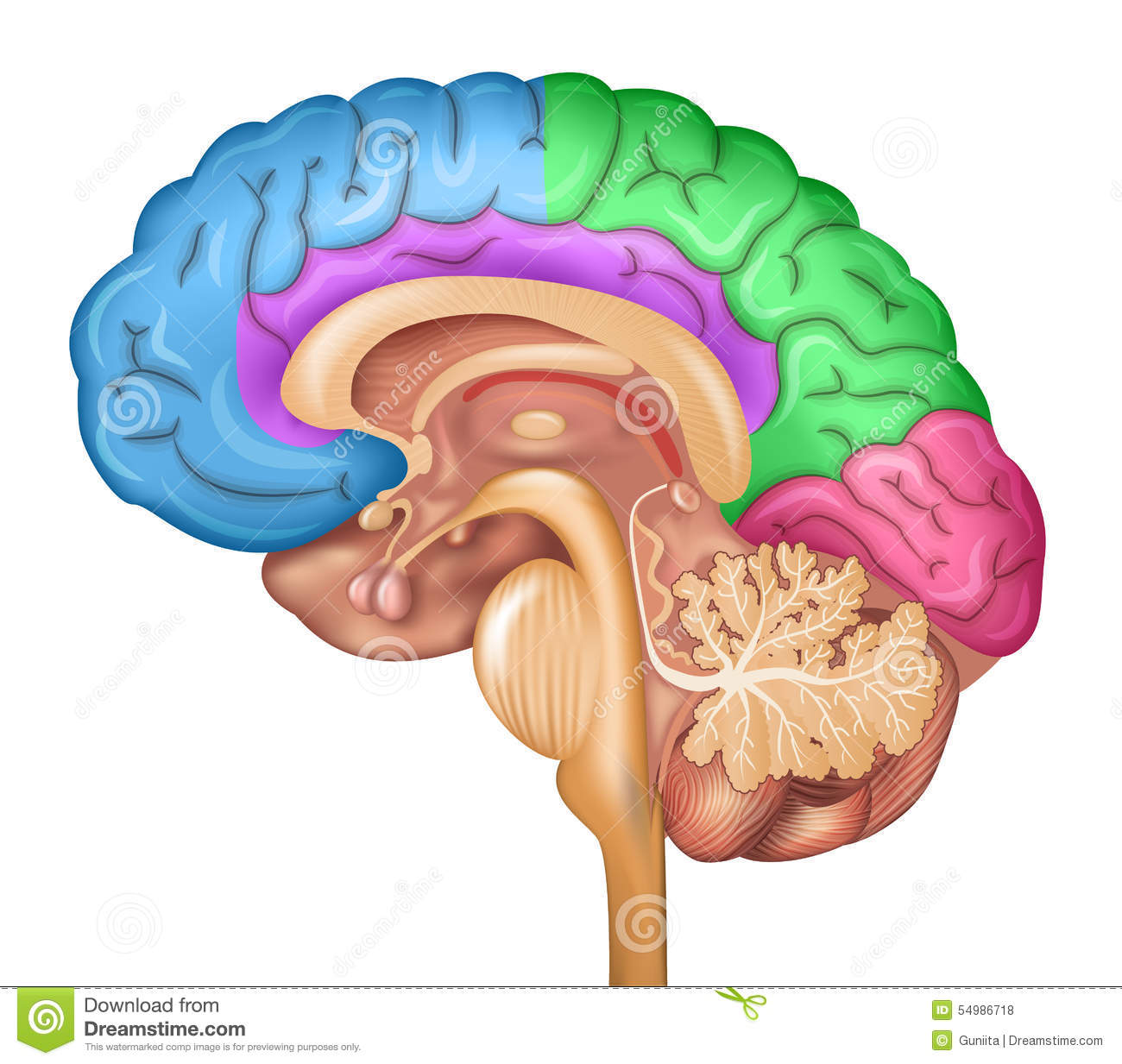 Human brain lobes stock vector. Illustration of diagnosis - 54986718