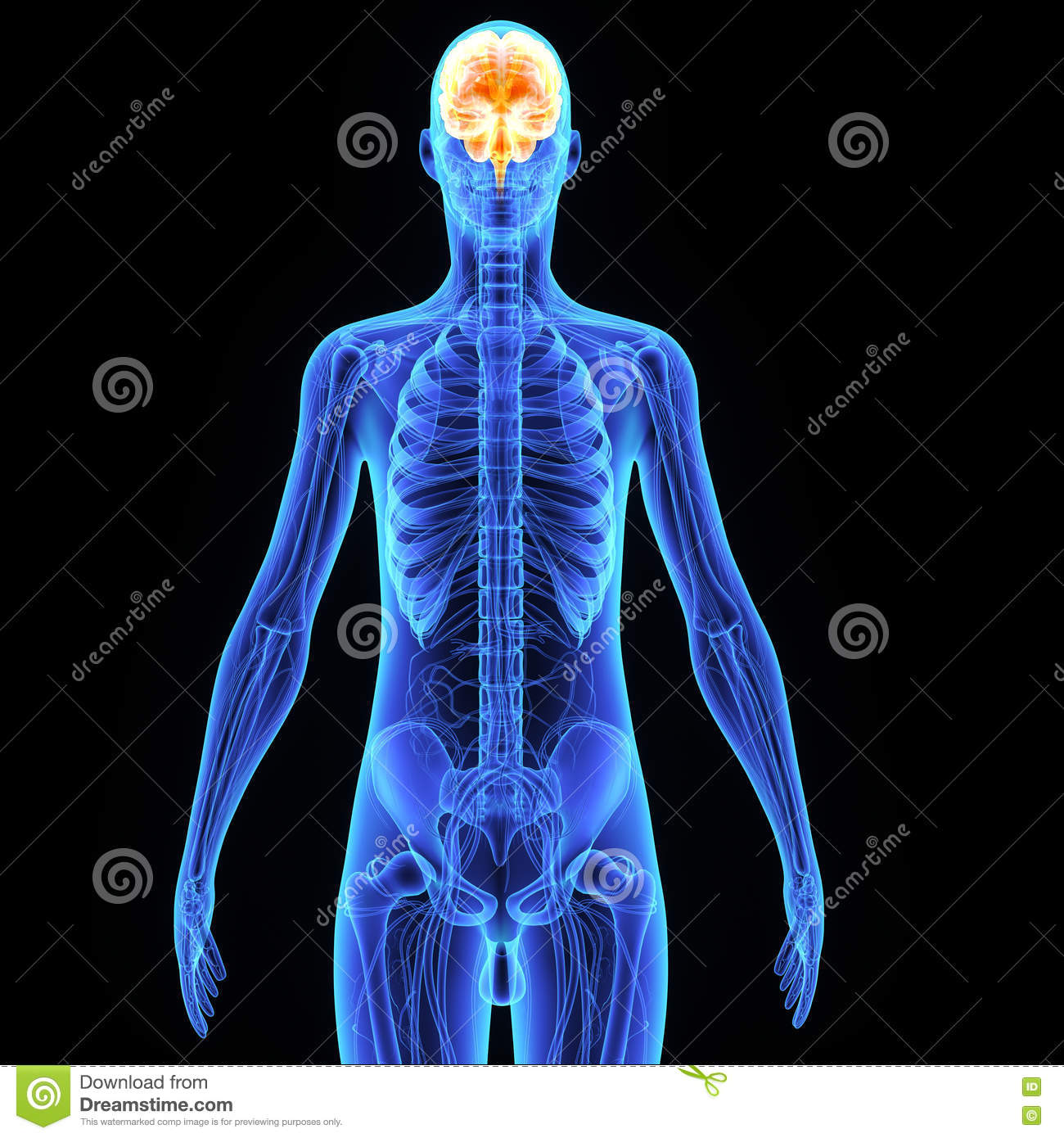 human brain stock illustration - image: 56141583, Muscles