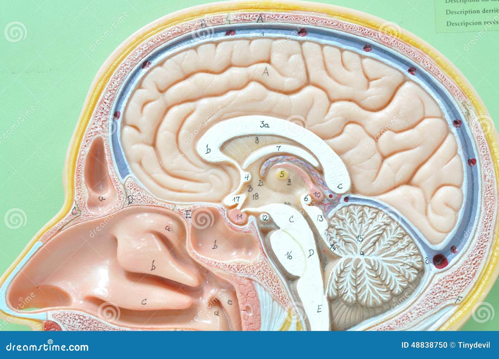 Human Brain Model Stock Photo Image Of Concept Inspiration 48838750