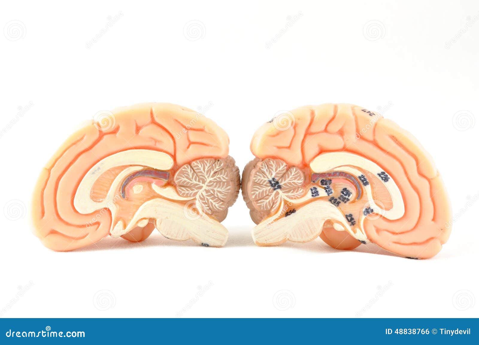Human brain model stock photo. Image of neurology, anatomical - 48838766
