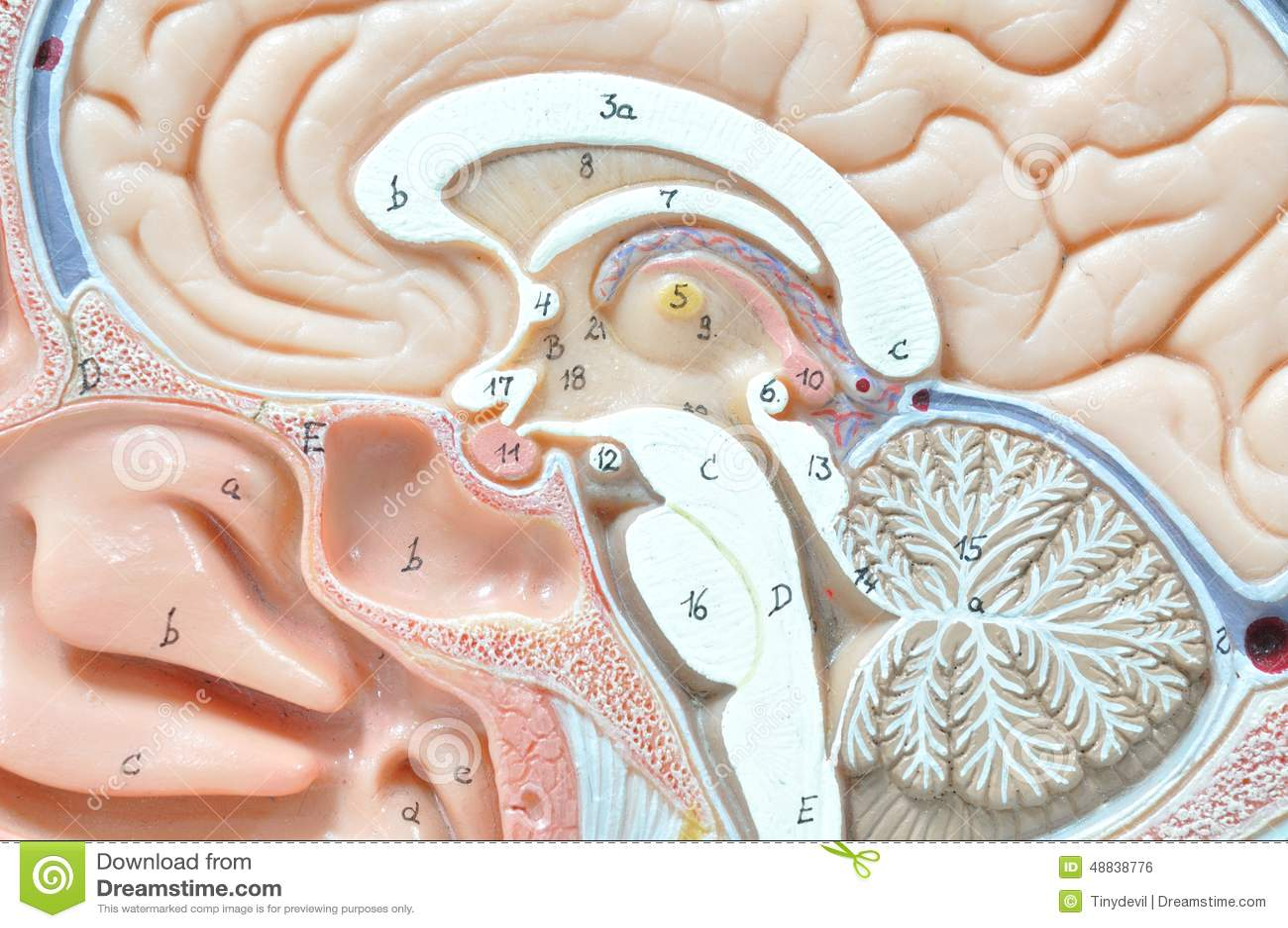 Human Brain Model Stock Photo Image Of Intellectual 48838776