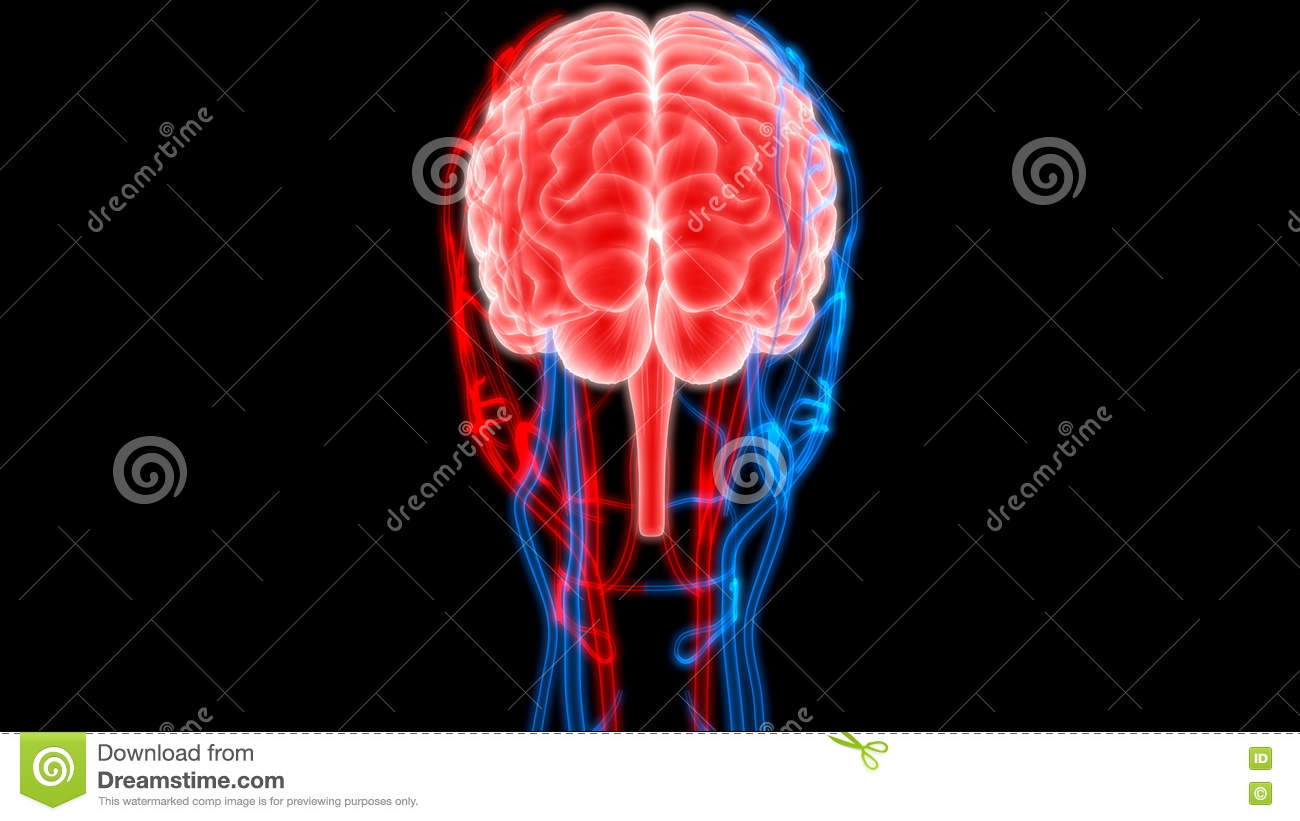 Human Brain With Nerves, Veins And Arteries Anatomy Stock ...