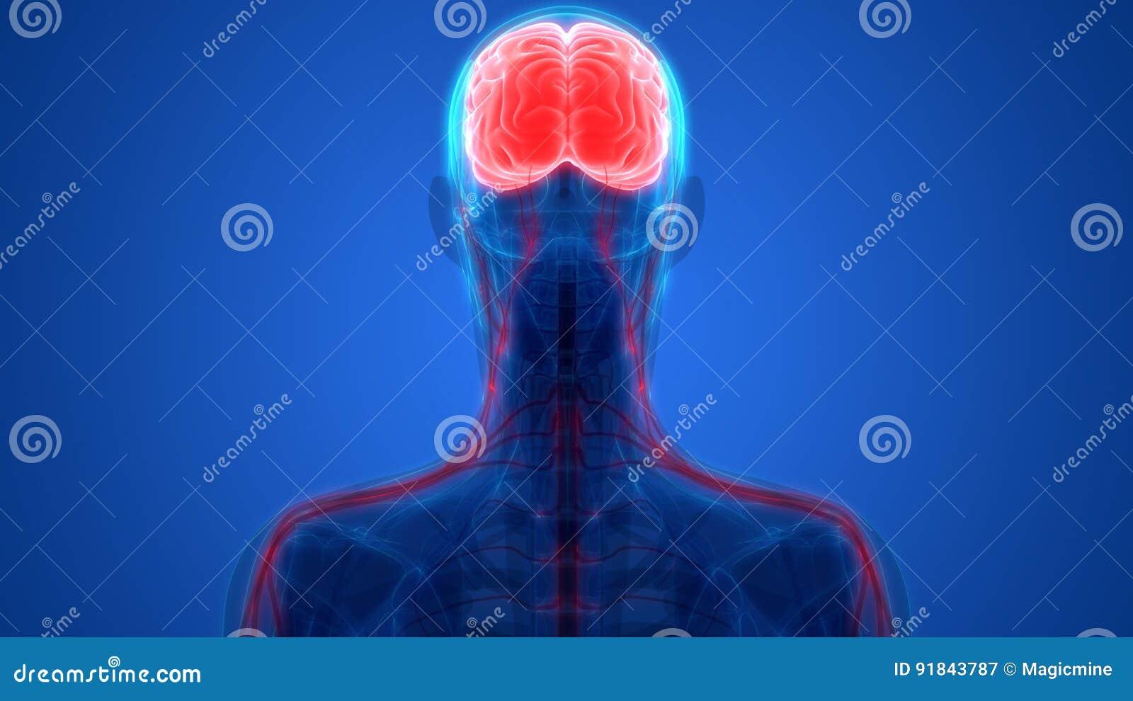 Human Brain With Nervous System Anatomy Stock Illustration ...