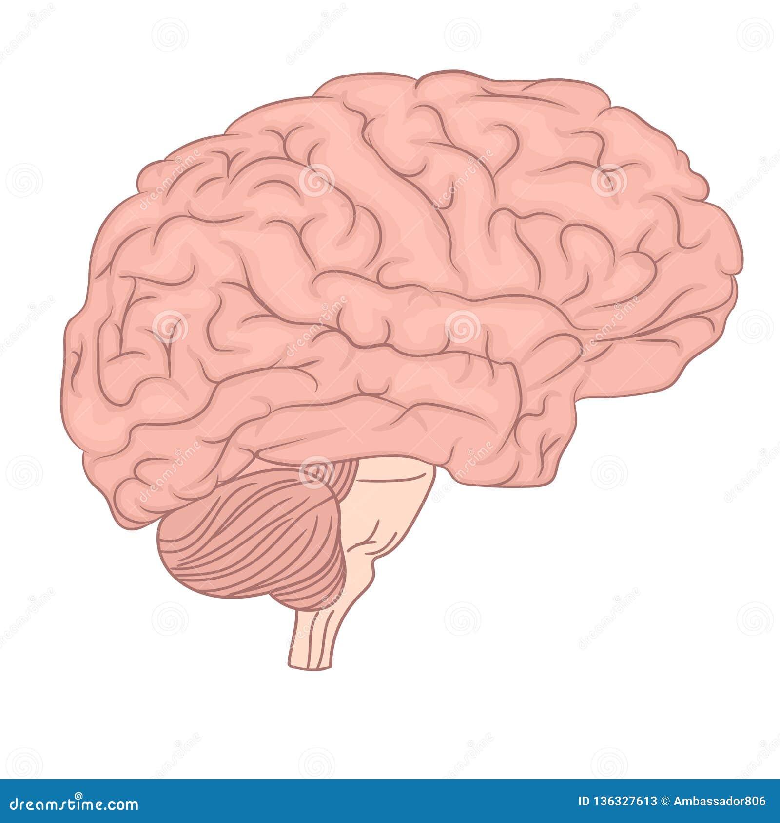 Human Brain Organ Parts Anatomy Diagram Colorful Design Manual Guide
