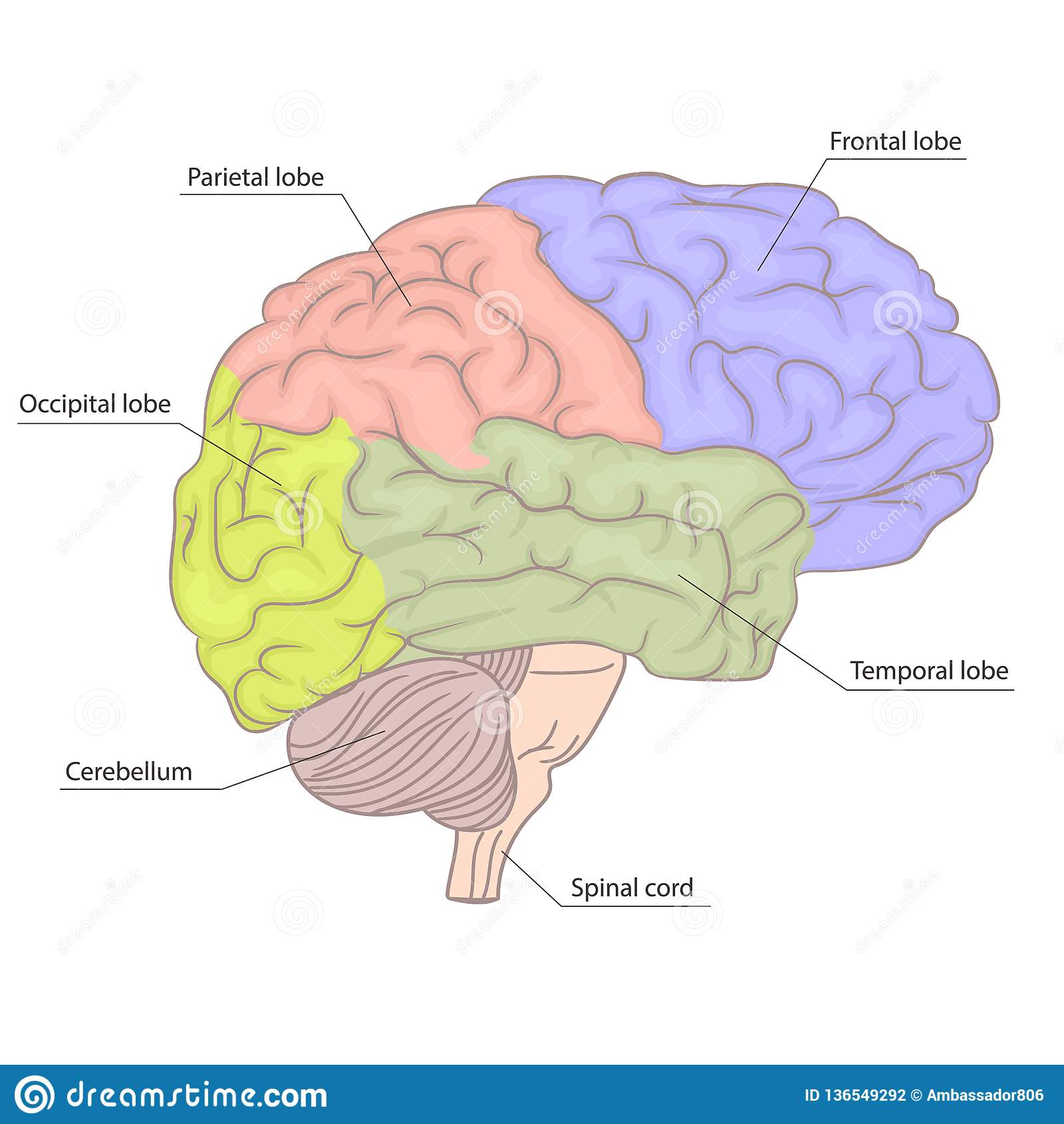 Human Brain Organ Parts Anatomy Diagram. Colorful Design ...