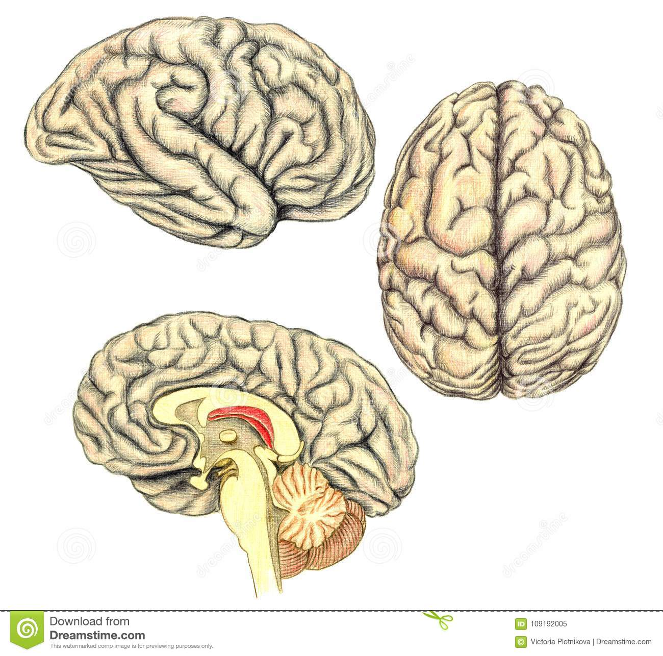 Human Brain Side View, View From Above And Viewed Through A Mid-line ...