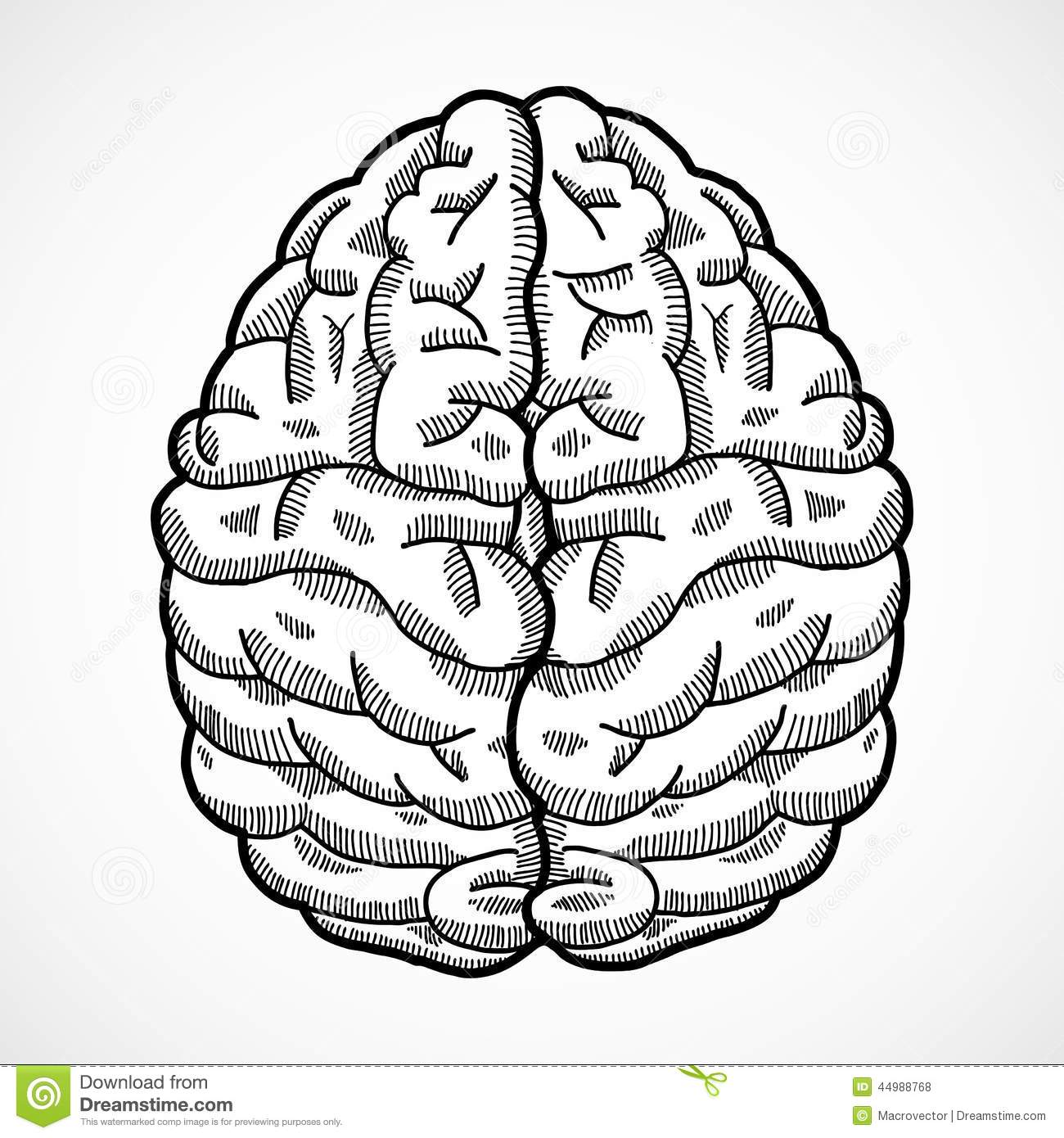 human brain sketch stock vector illustration of brainy