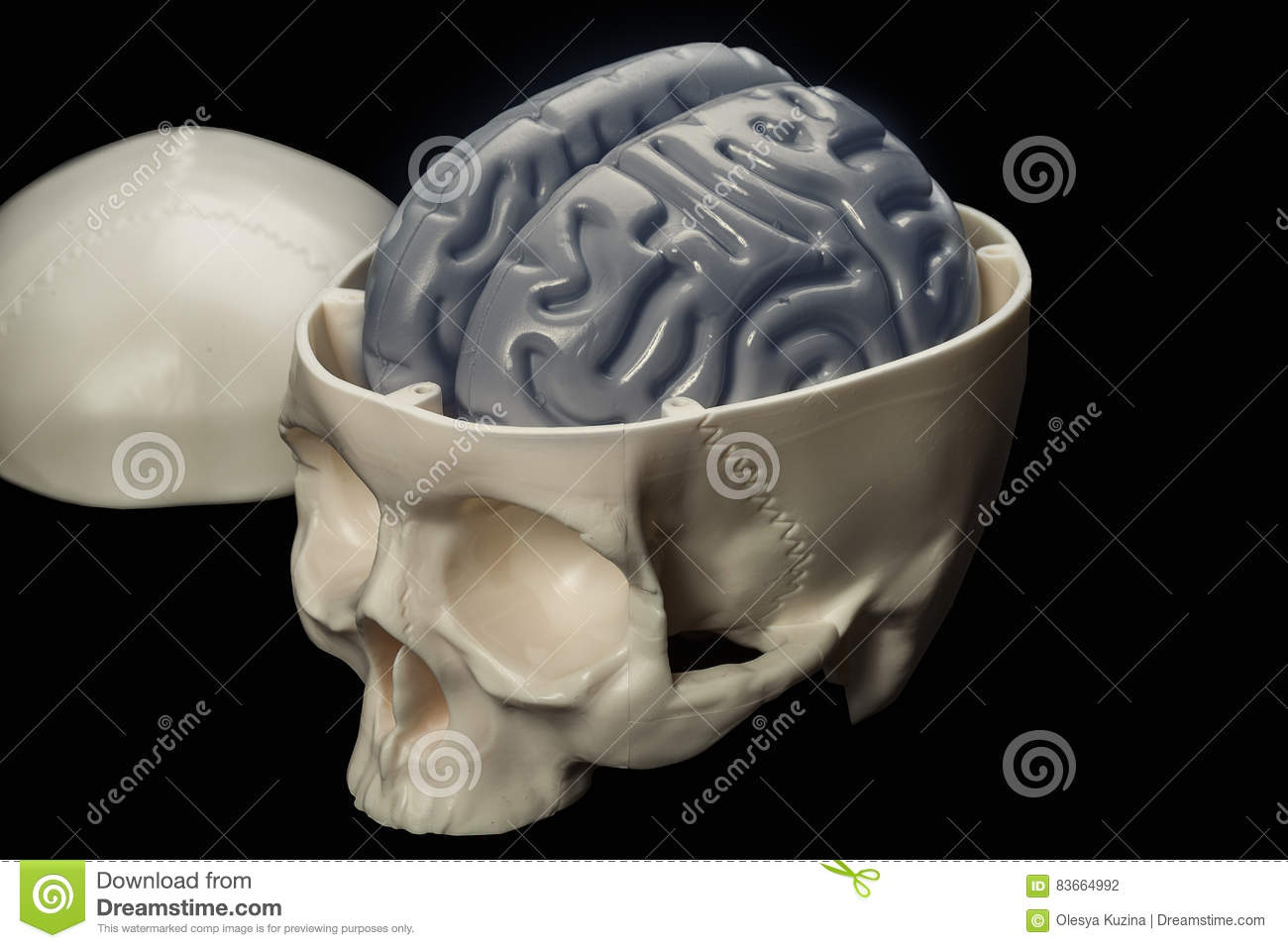 The Human Brain In The Skull - A Layout For Students Stock Photo ...