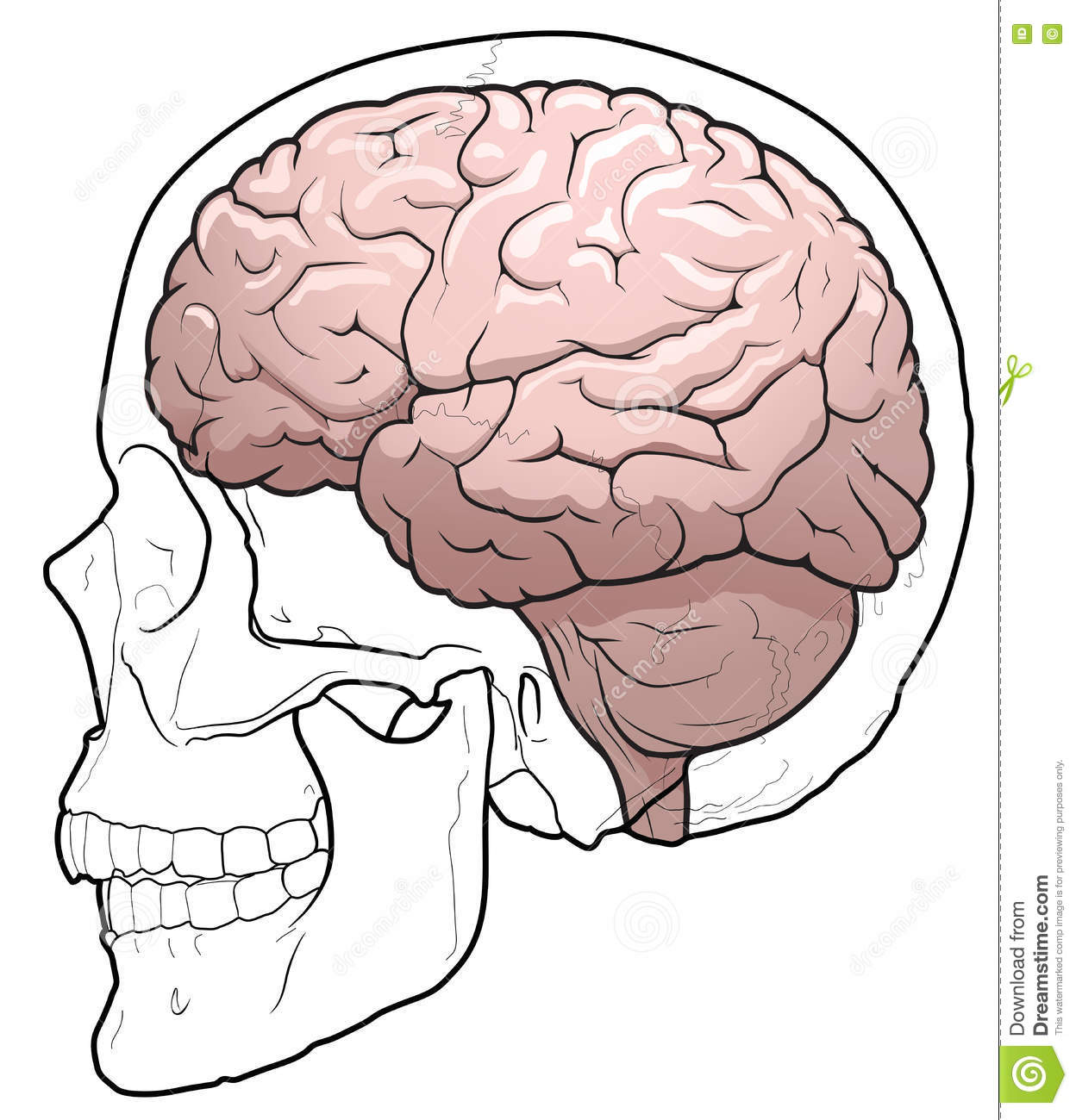 human brain and skull stock vector illustration of lobe 73049041 Shark Brain Diagram human brain and skull