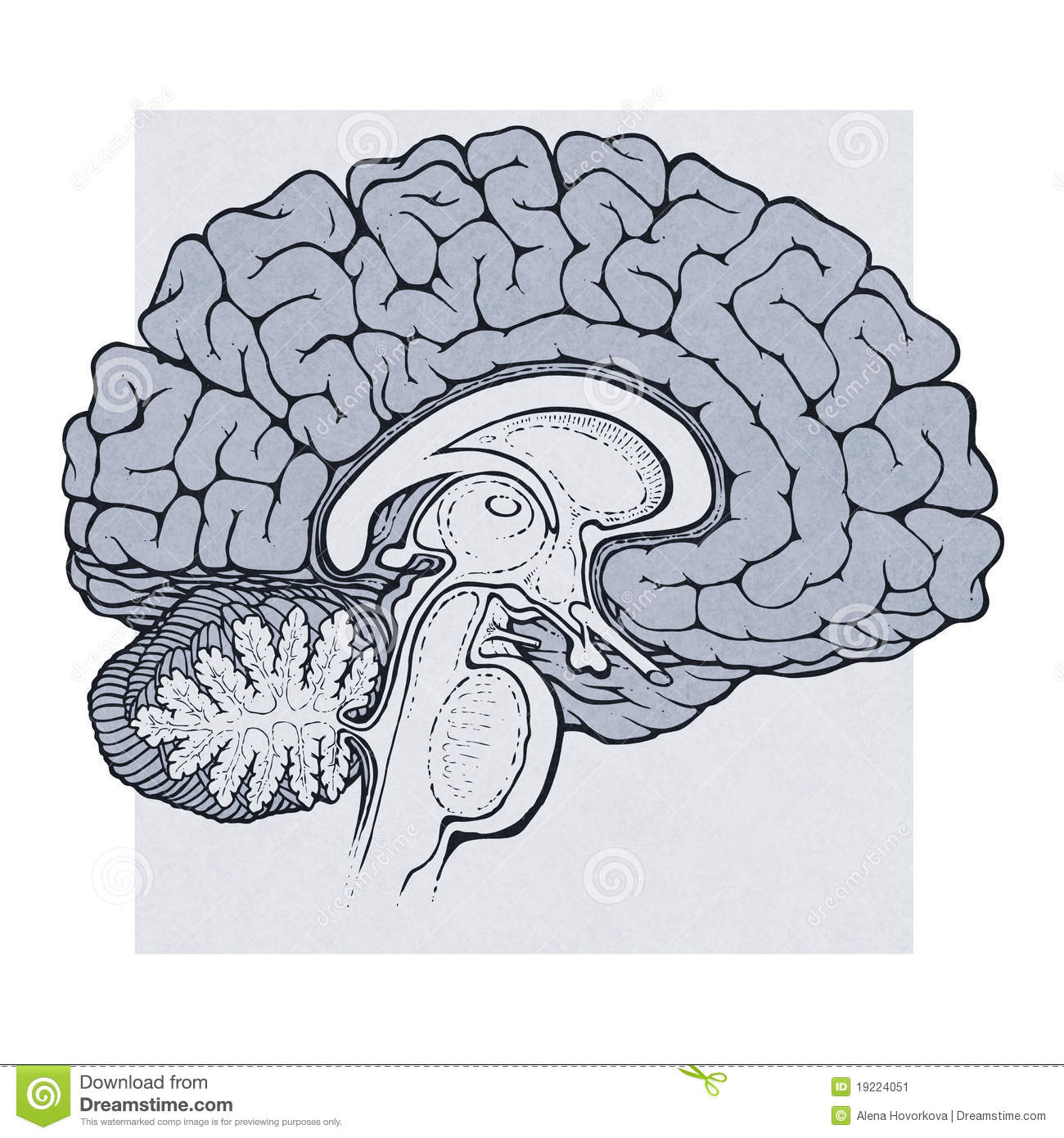 Human Brain Structures Sagitall View Stock Vector Illustration Of