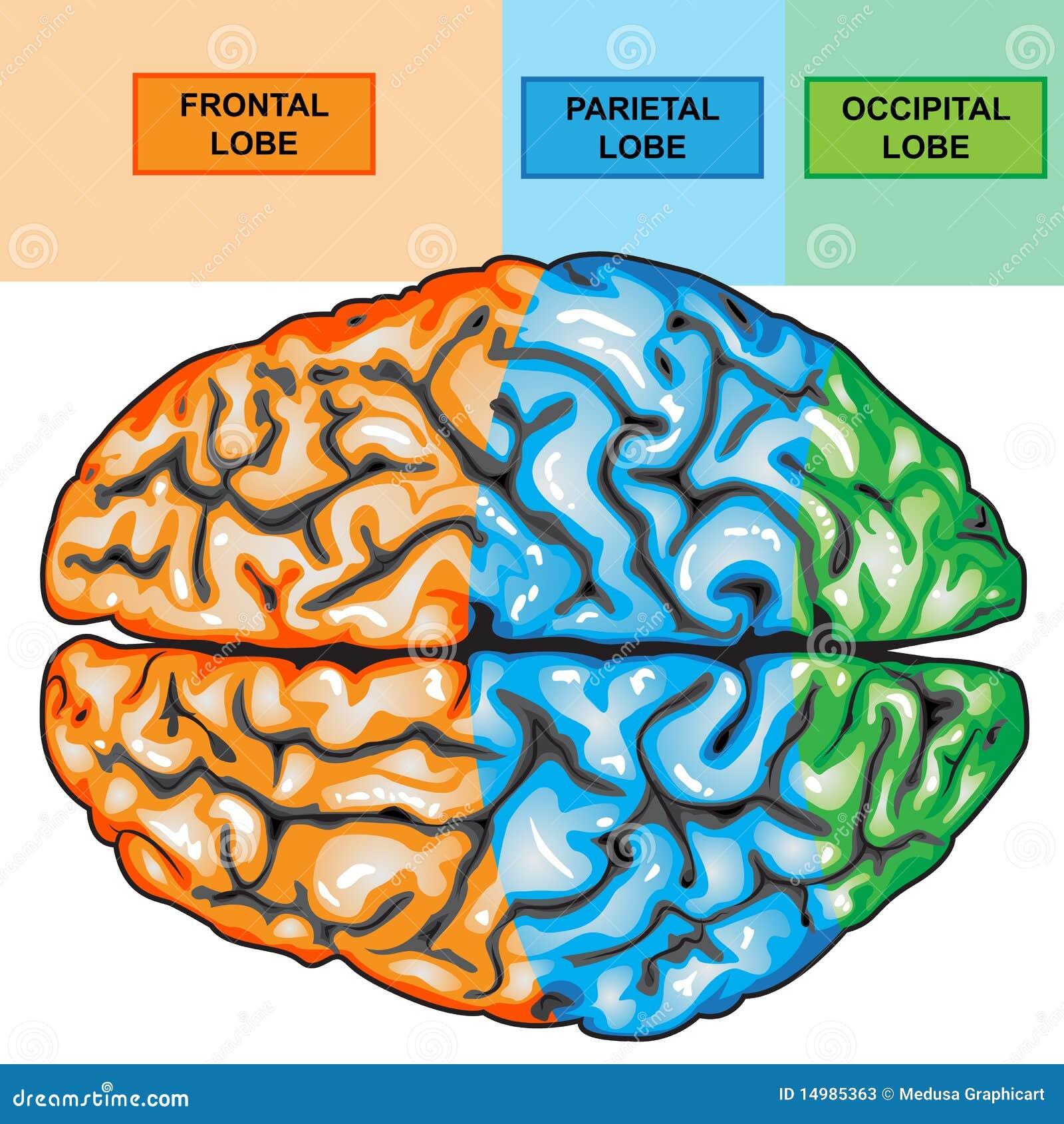 Brain Diagram Top Great Installation Of Wiring Diagram