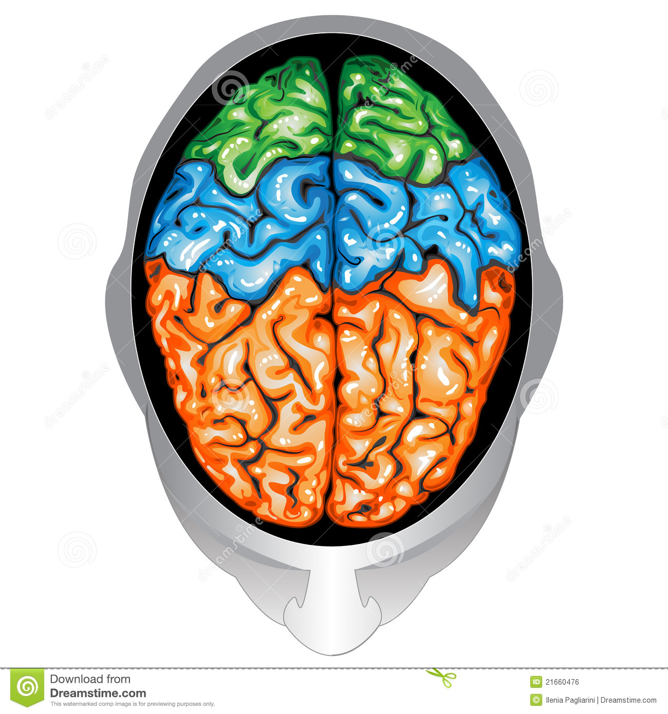 Human brain top view stock vector. Image of central ...
