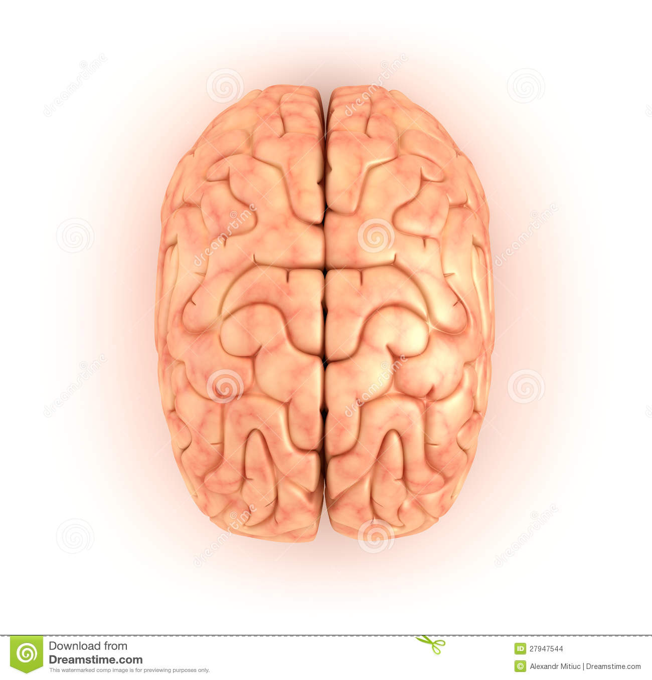 Human Brain , Top View Stock Images - Image: 27947544