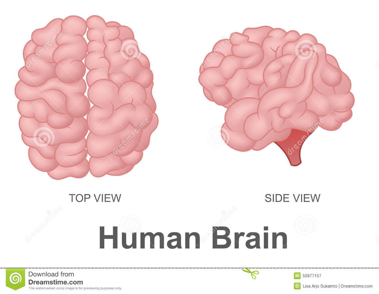 Human Brain In Top View And Side View Stock Vector ...