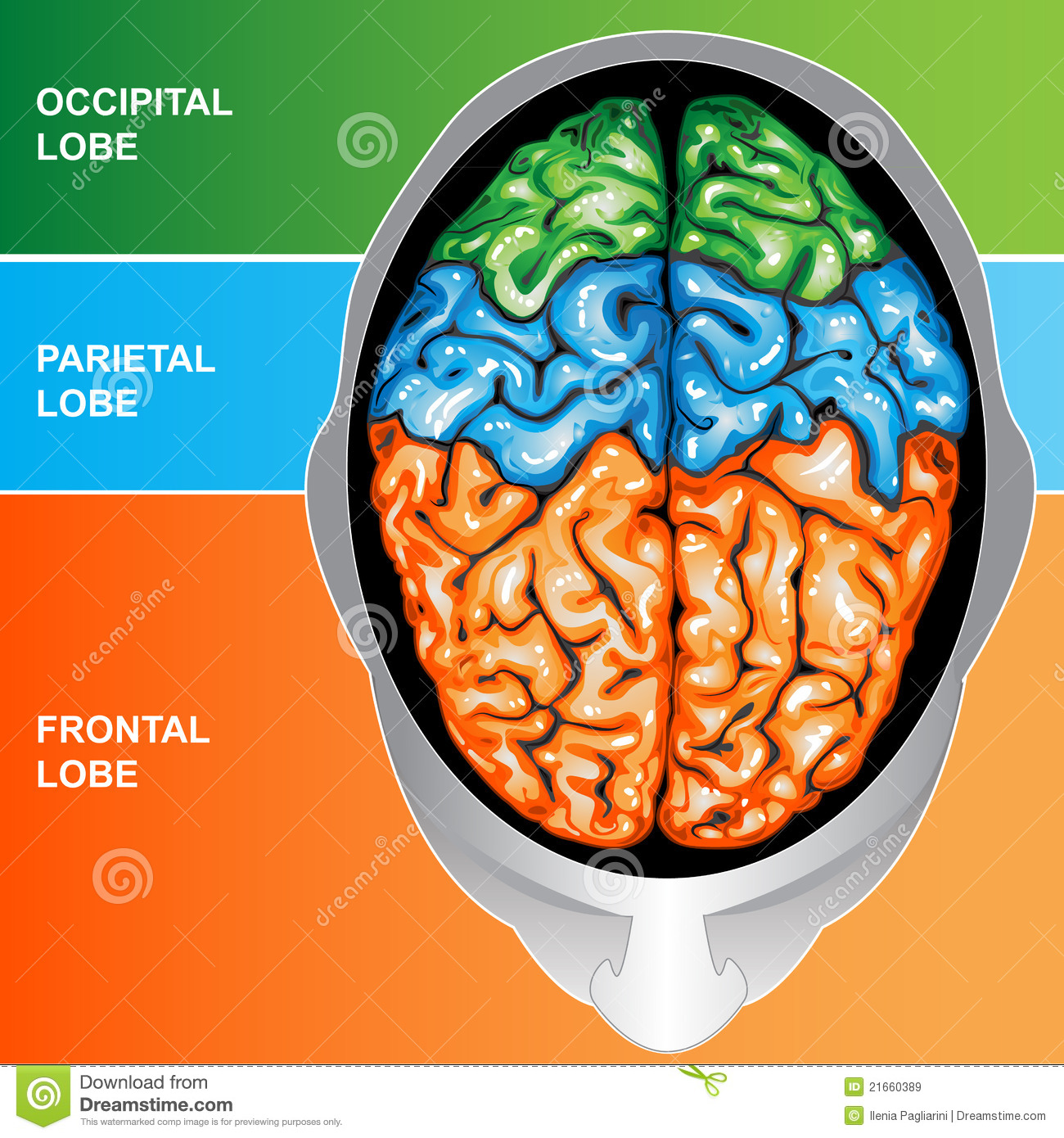 human brain view top royalty free stock images image