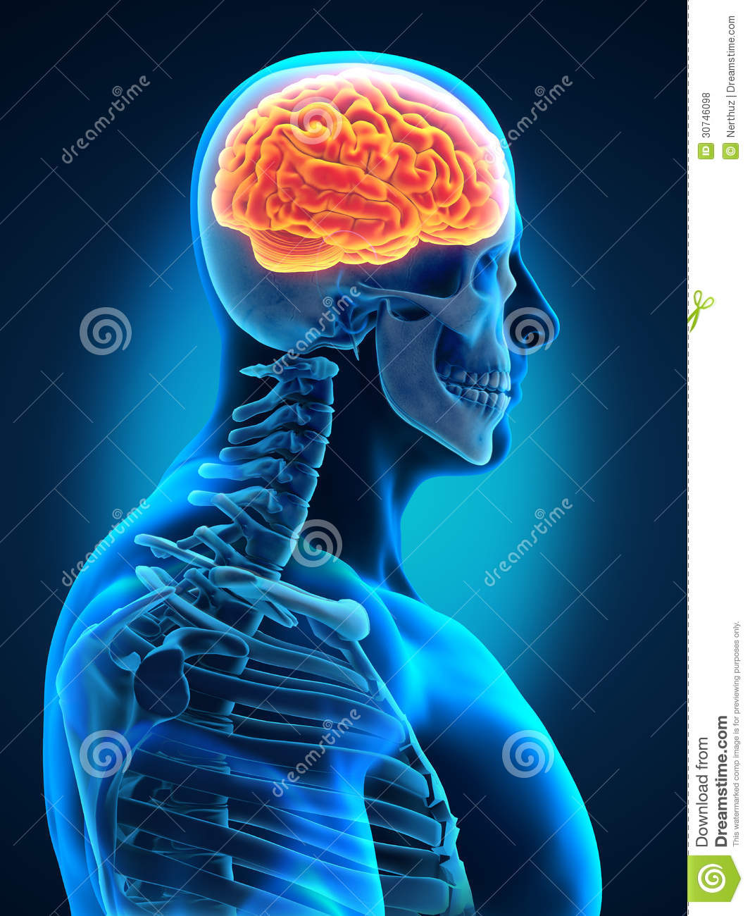Human Brain With Visible Skull Lateral View Royalty Free