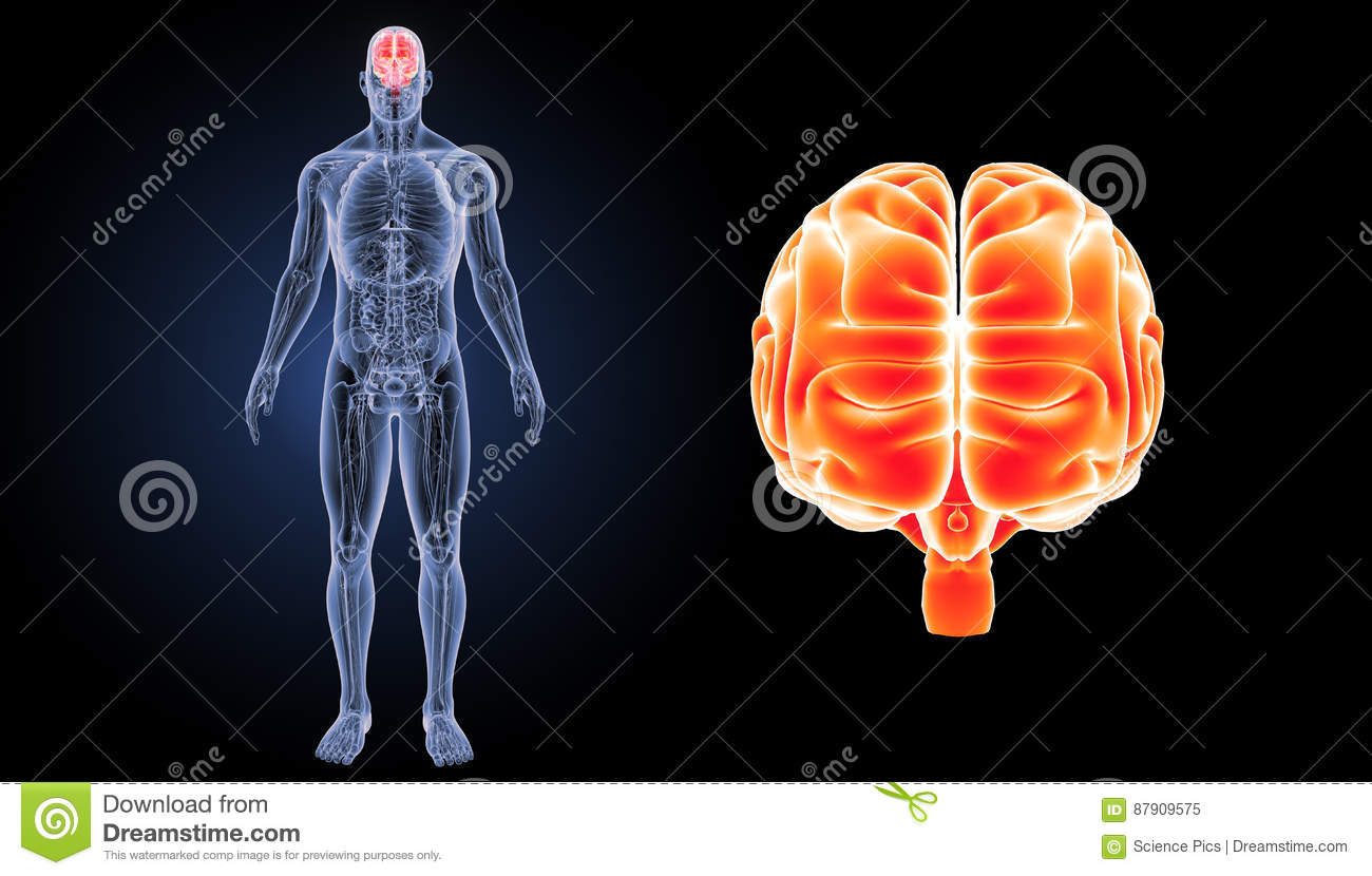 Human Brain Zoom With Anatomy Anterior View Stock Illustration