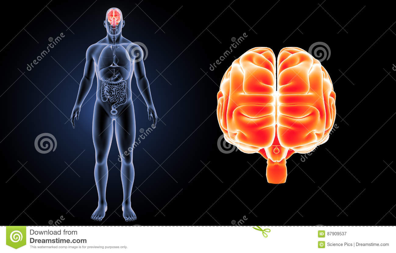 human brain zoom with organs anterior view stock illustration, Muscles