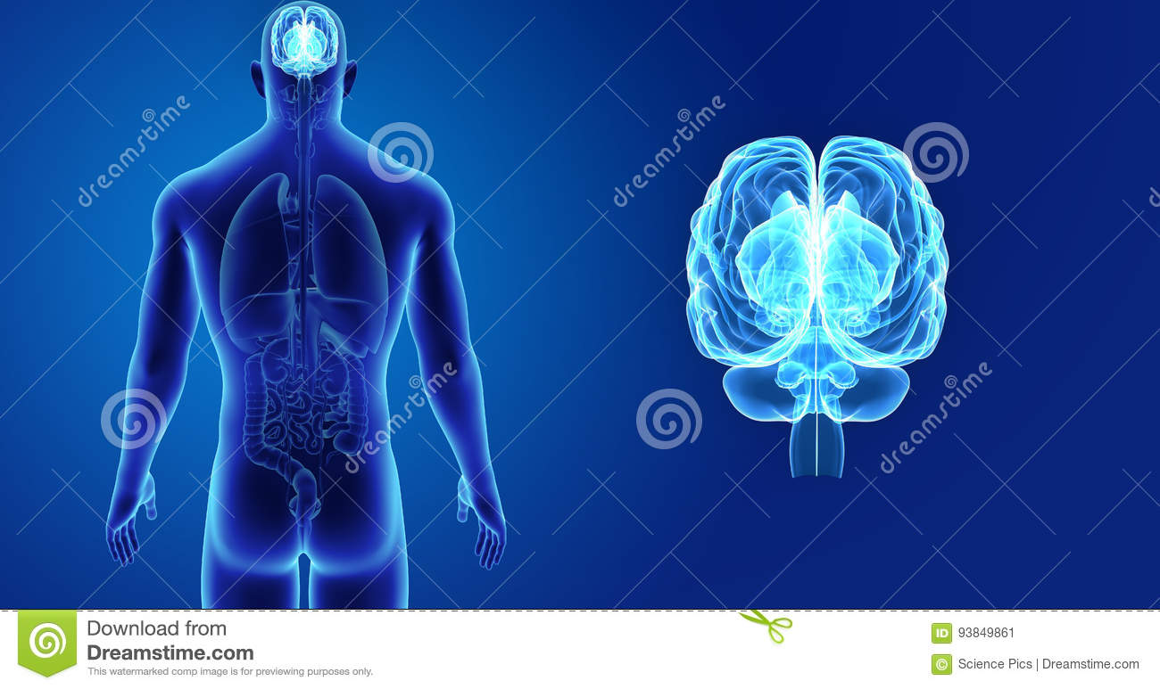 Human Brain Zoom With Organs Posterior View Stock ...