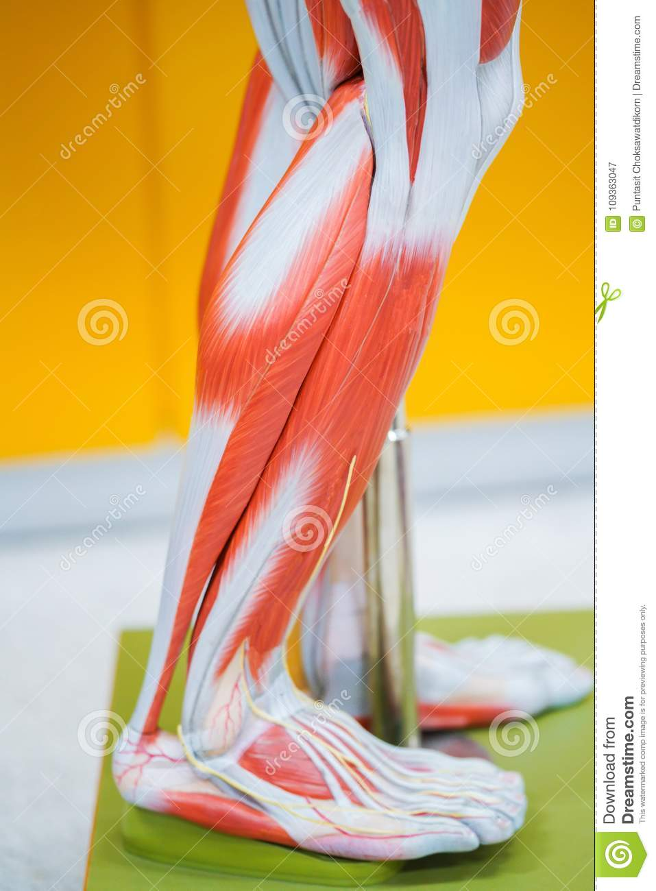 Human calf muscle anatomy stock image. Image of medicine - 109363047