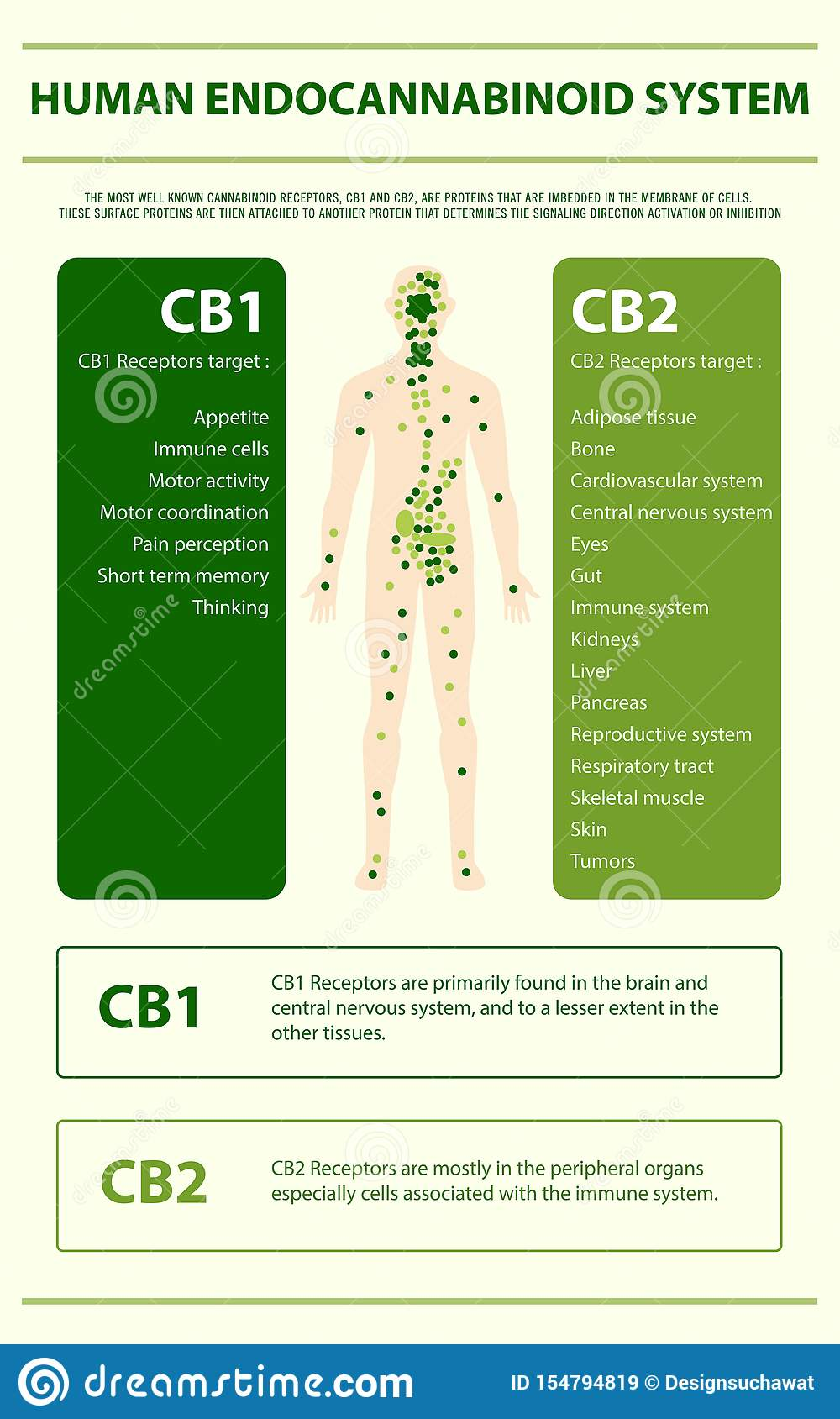 Human cannabinoid system vertical infographic