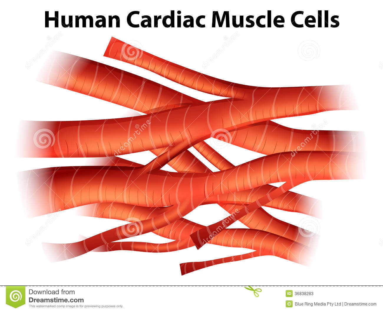 Human Cardiac Muscle Cells Stock Illustration Illustration Of
