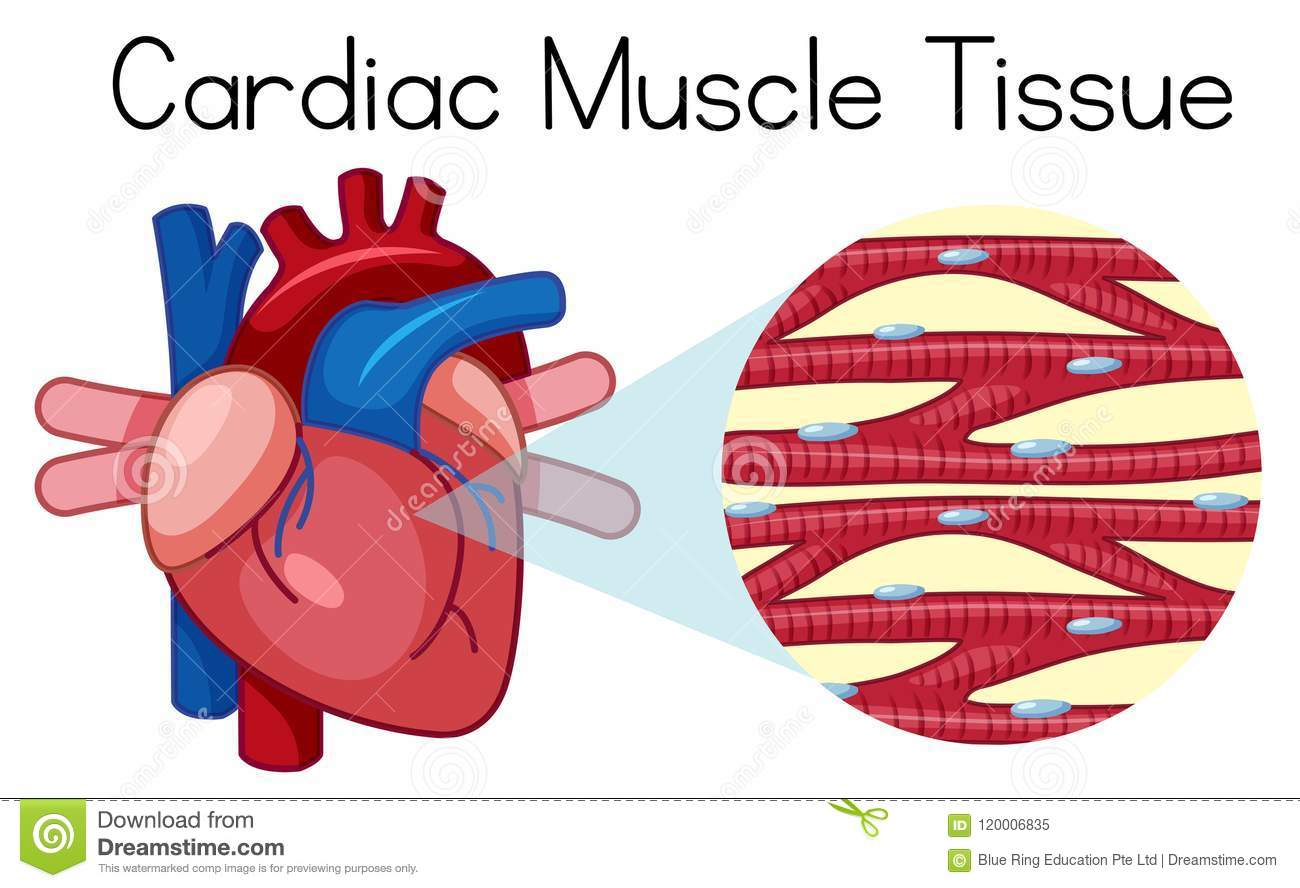 A Human Cardiac Muscle Tissue Stock Vector Illustration Of