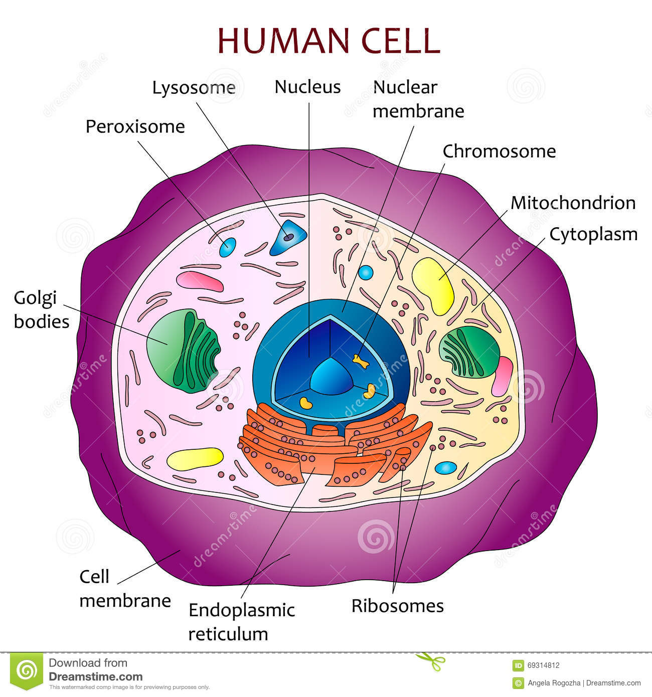 Human Cell Diagram Stock Vector  Image Of Scientific