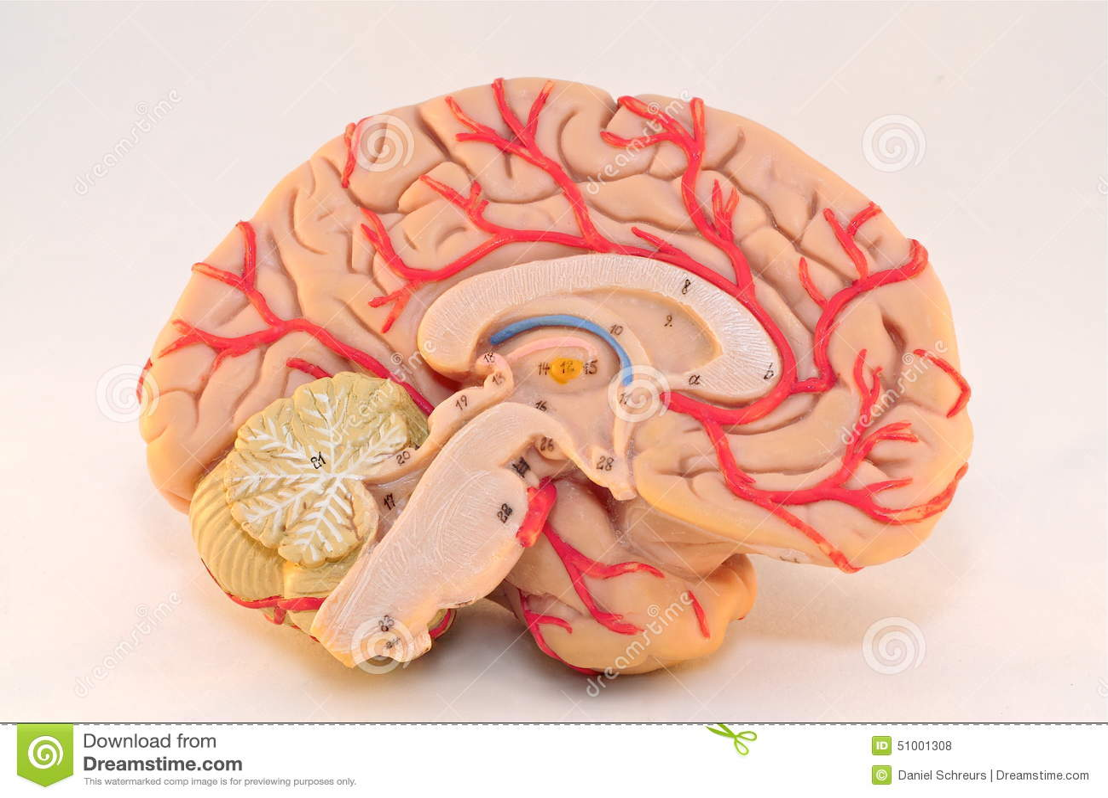 Human Cerebral Hemisphere Anatomy Model (Medial View) Stock Photo ...