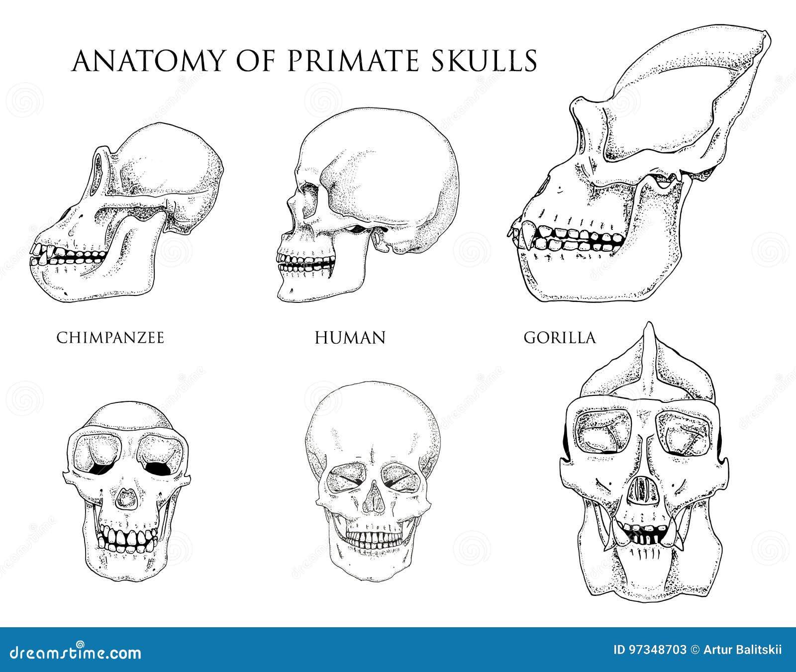 Human And Chimpanzee Gorilla Biology And Anatomy Illustration