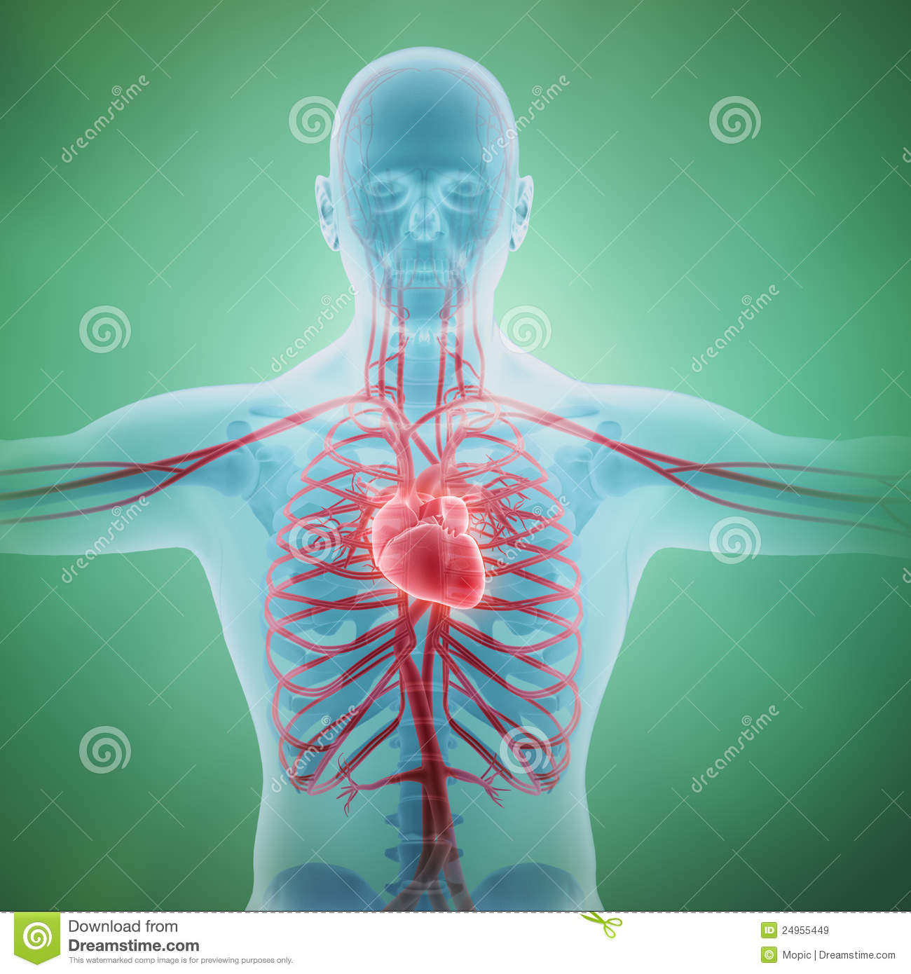 Human Circulatory System Stock Image Image Of Blue Artery 24955449