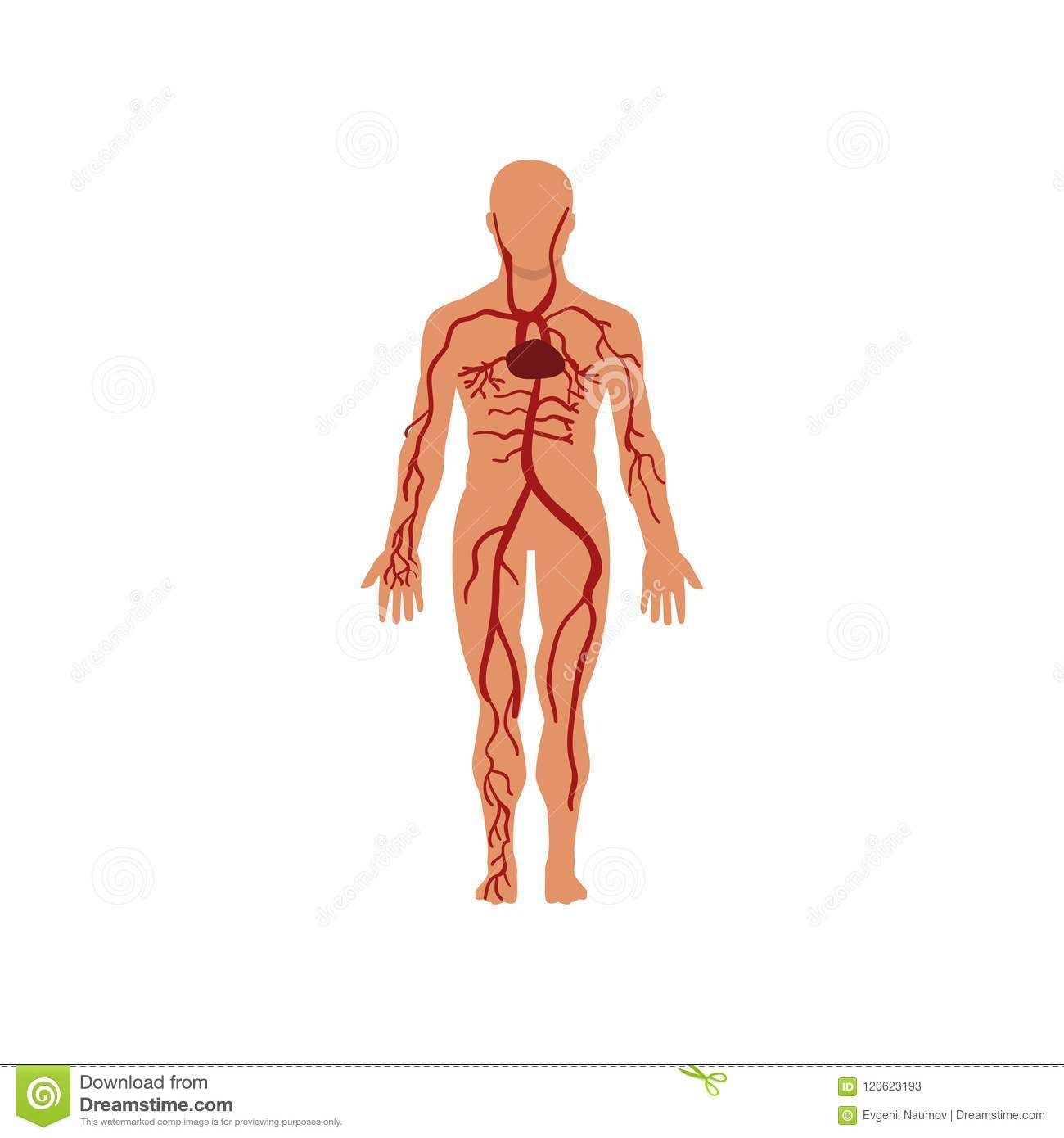 human circulatory system anatomy of human body vector illustration on a white background stock vector illustration of health body 120623193 https www dreamstime com human circulatory system anatomy human body vector illustration white background human circulatory system anatomy human image120623193