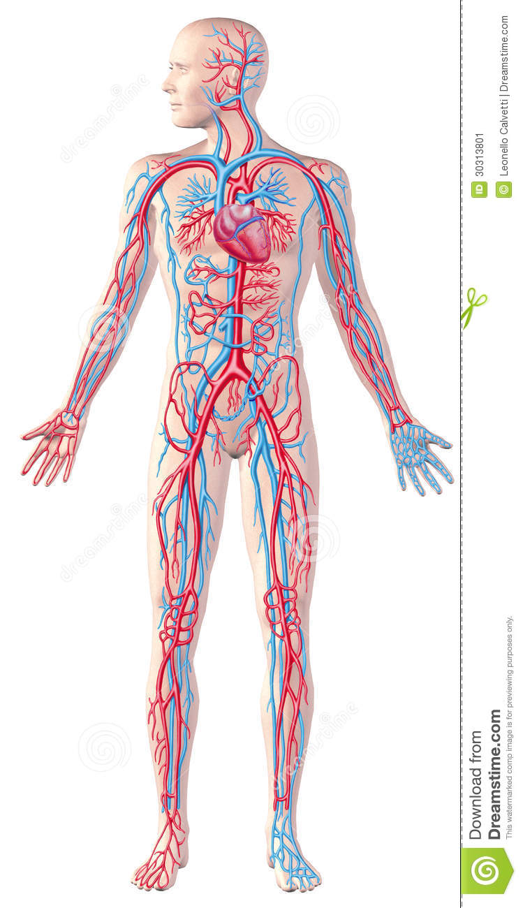 Human Reproductive System Diagram To Label in addition Stock Image Human Circulatory System Full Figure Cutaway Anatomy Illustration Clipping Path Included Image30313801 furthermore Heart further Human Heart Parts And Their Functions as well The Anatomy Coloring Book Download. on human circulatory system for kids