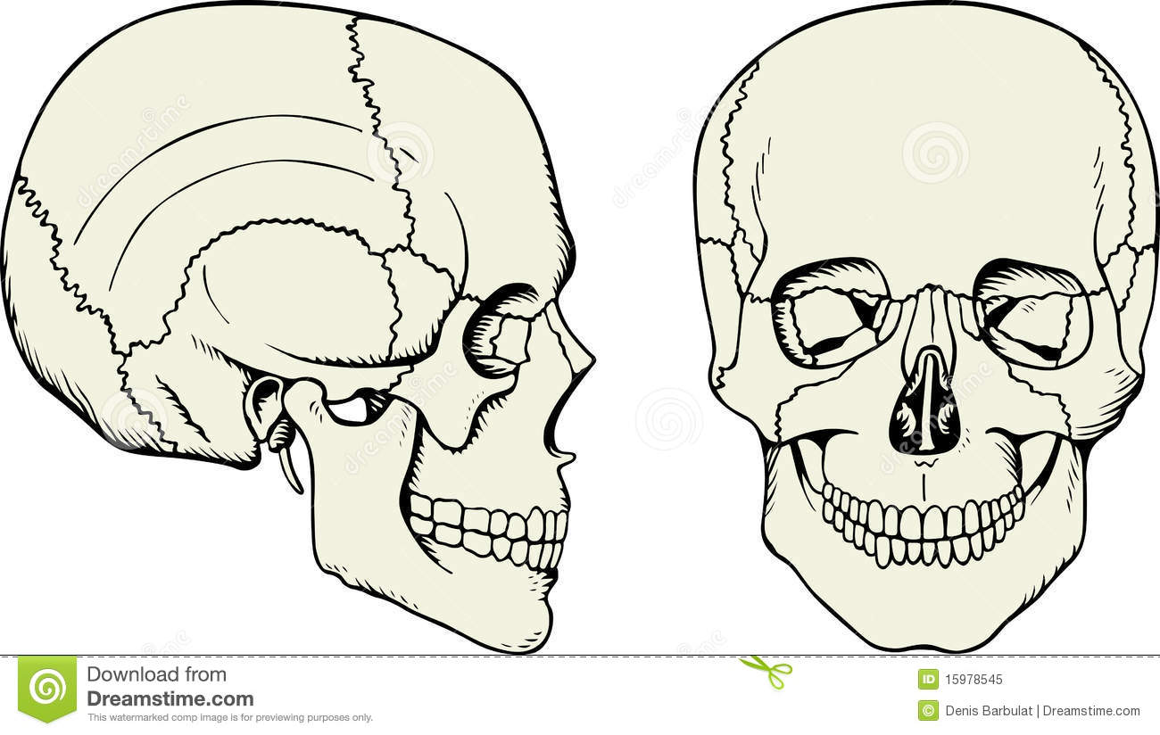 Human Cranium Royalty Free Stock Photo - Image: 15978545