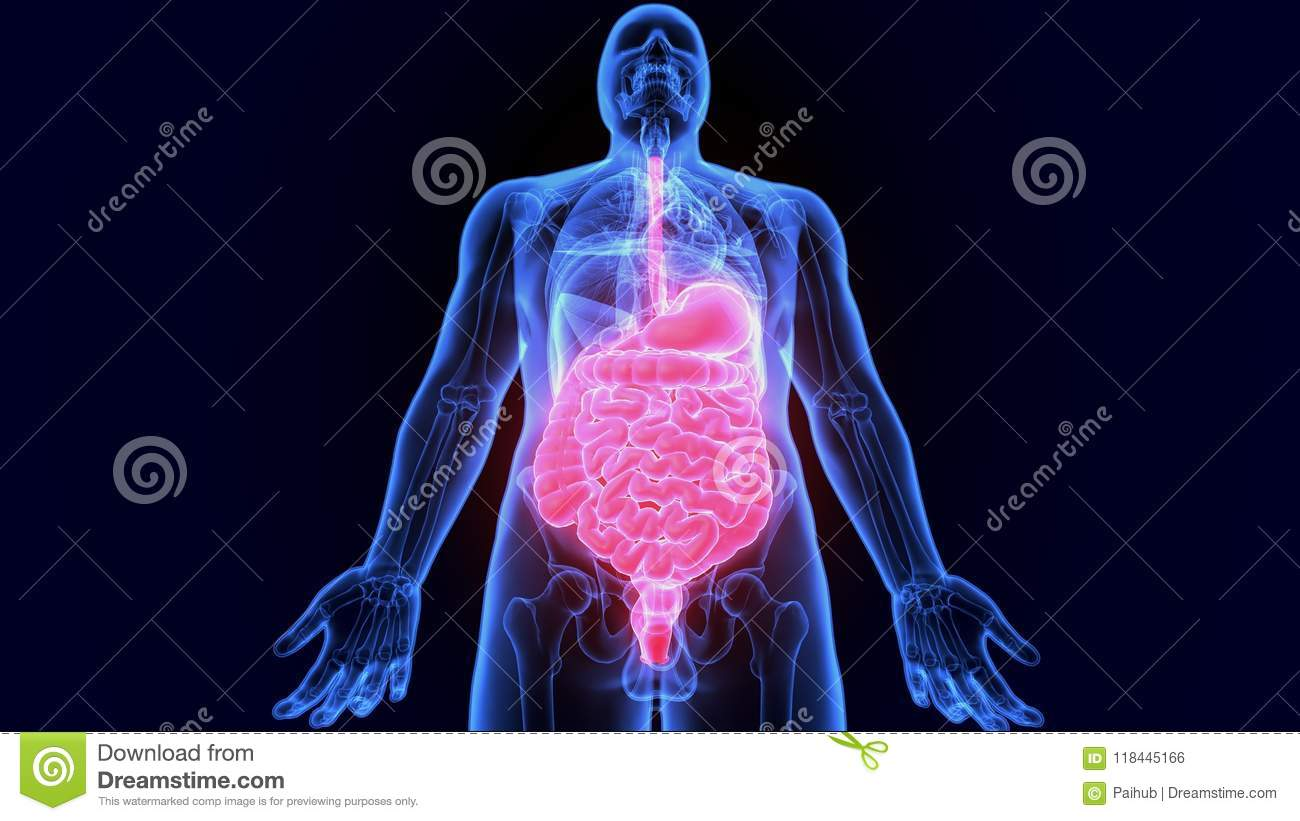 3d Illustration Of Human Digestive System Anatomy Stomach With Small