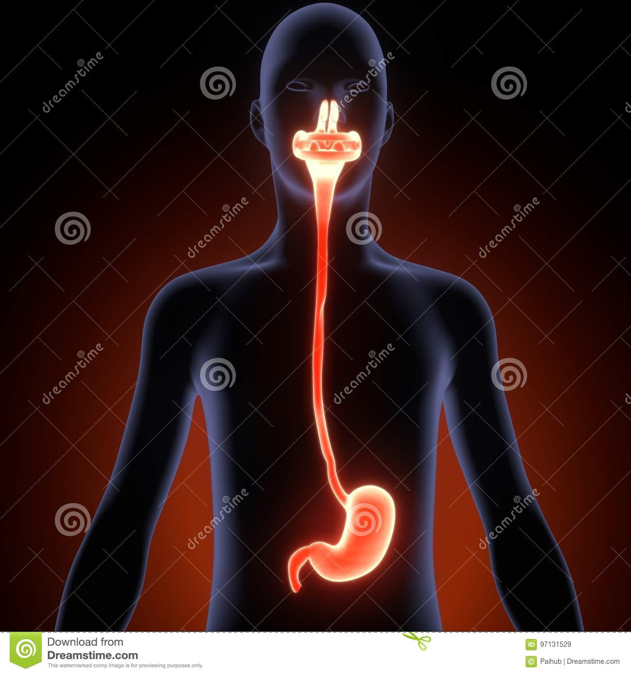3d Illustration Of Human Body Digestive System Anatomy Stock