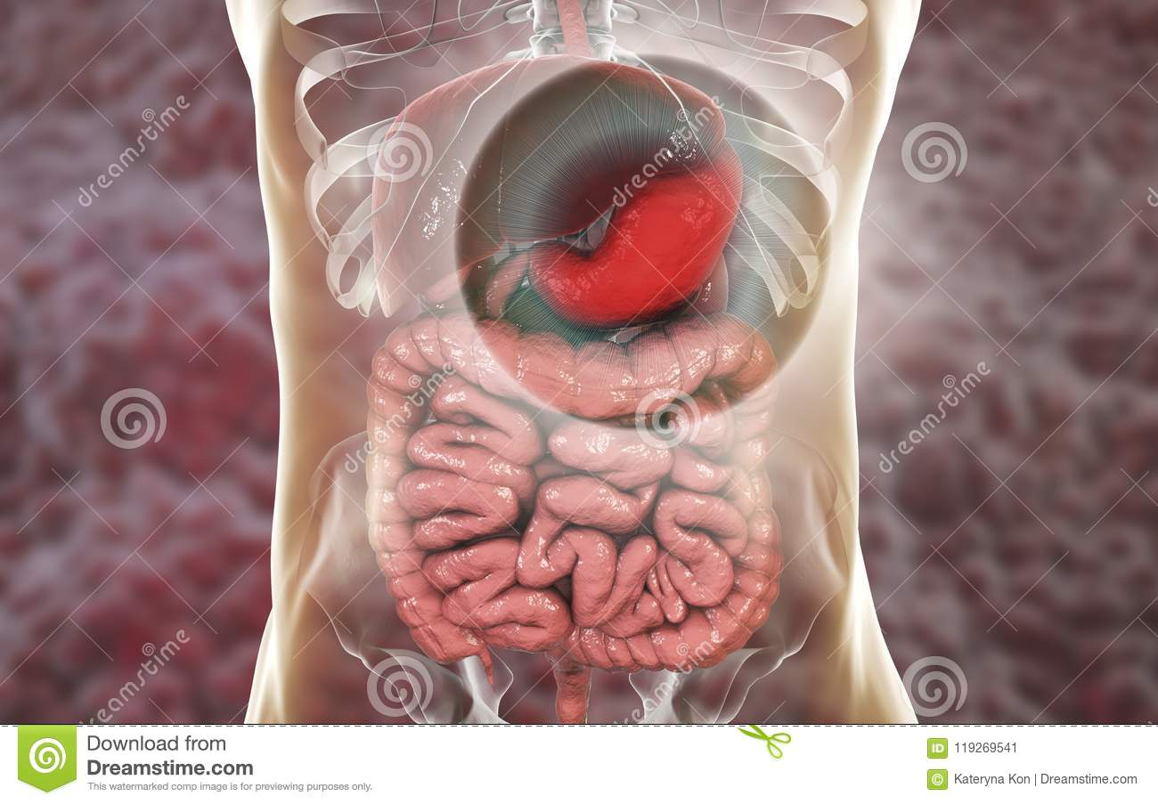 Human Digestive System With Highlighted Stomach Stock Illustration